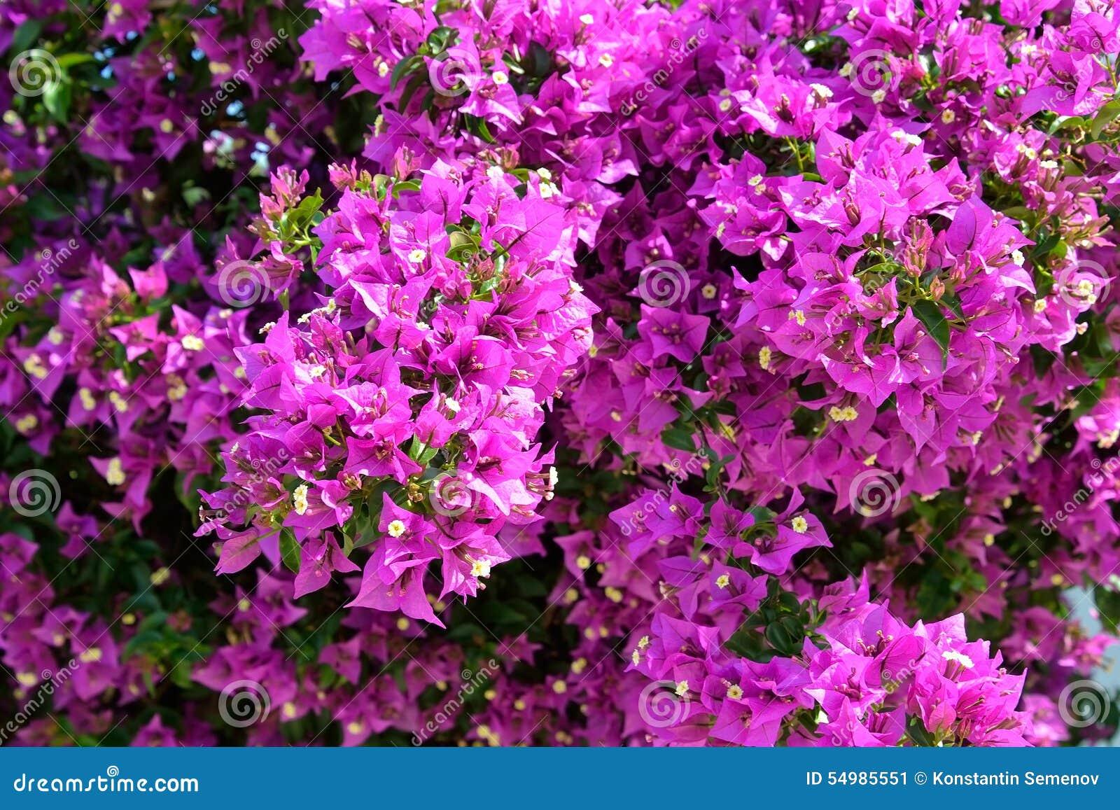 Ljusa purpurfärgade lösa blommor