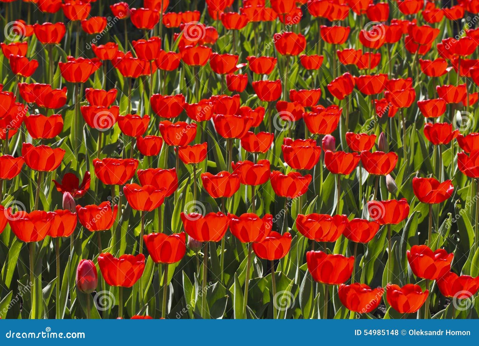Ljusa röda tulpan som blommar ängen
