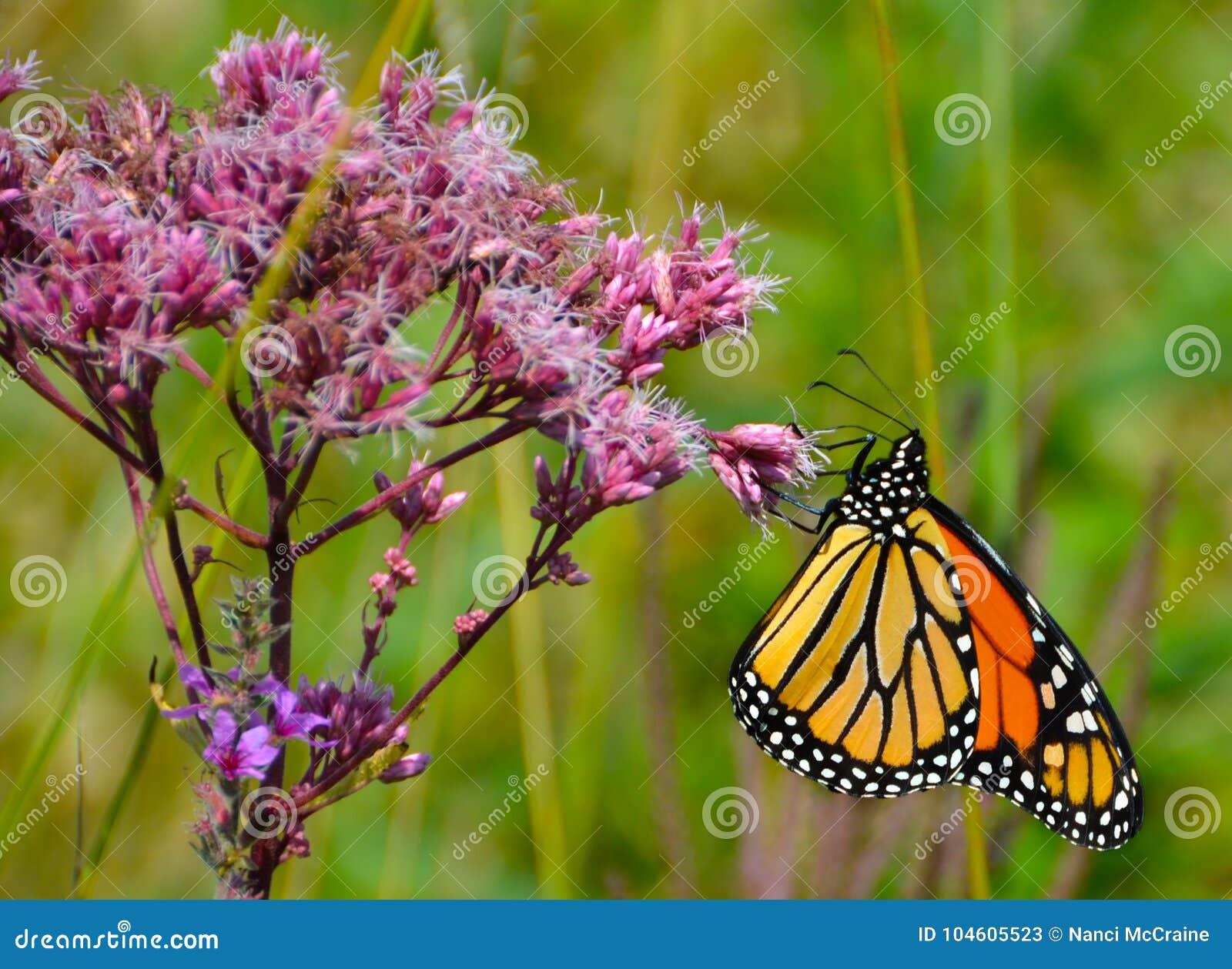 Ljust färgad monark som griper den Joe Pye Weed rosa färgblomman