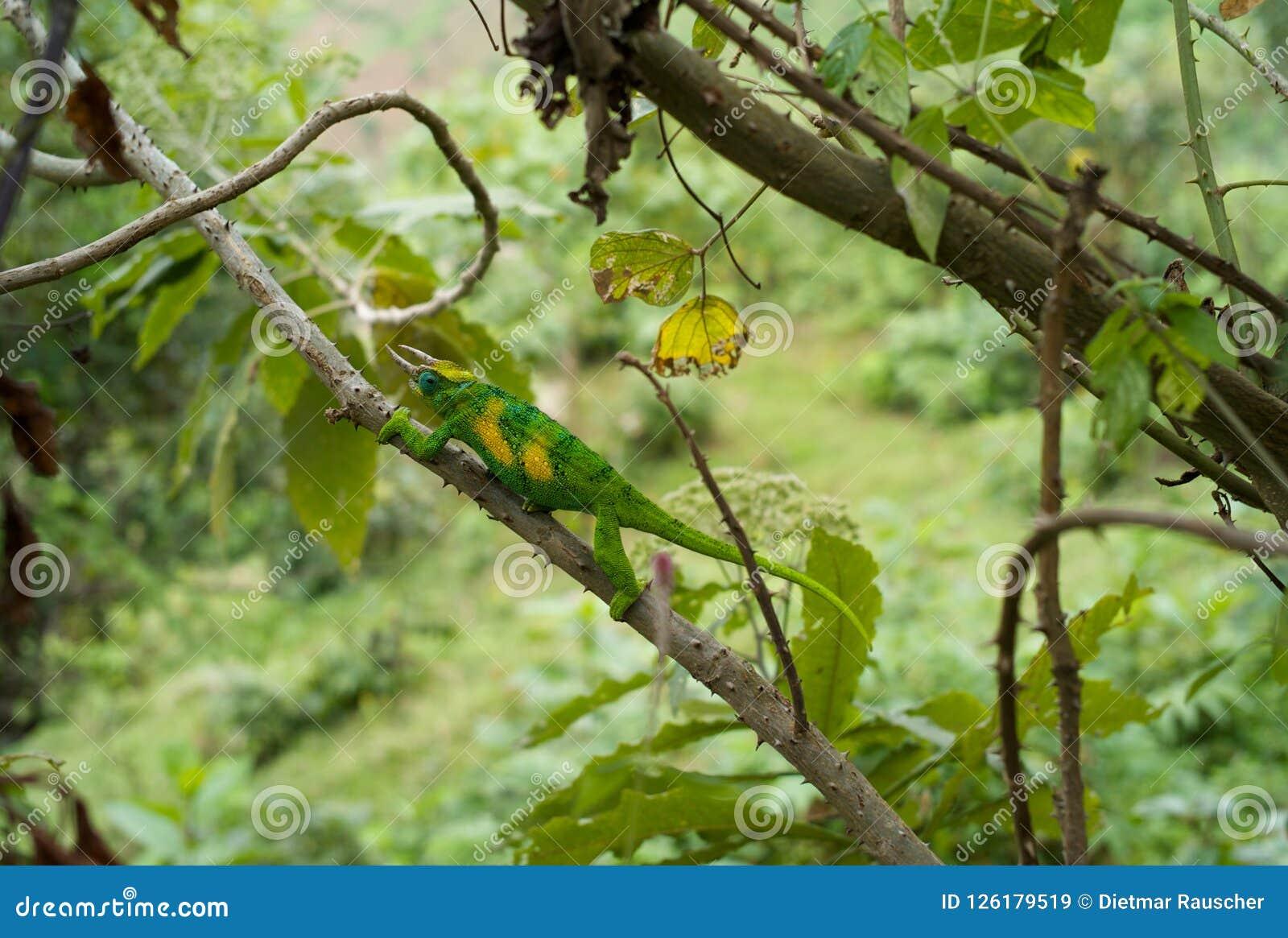 Ljust - grön kameleont