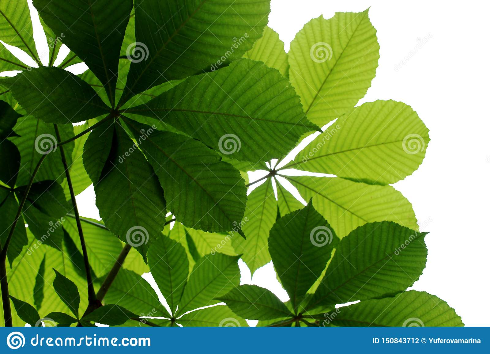 Ljust - gröna kastanjebruna sidor på en vit bakgrund