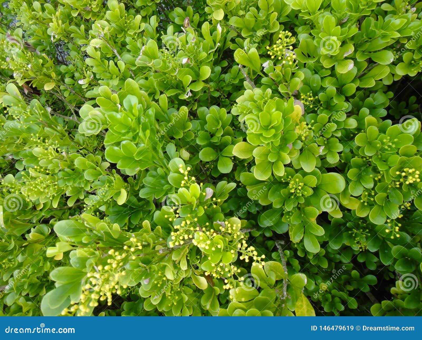Ljust - gröna sidor med den mycket lilla buketten av gula blommor