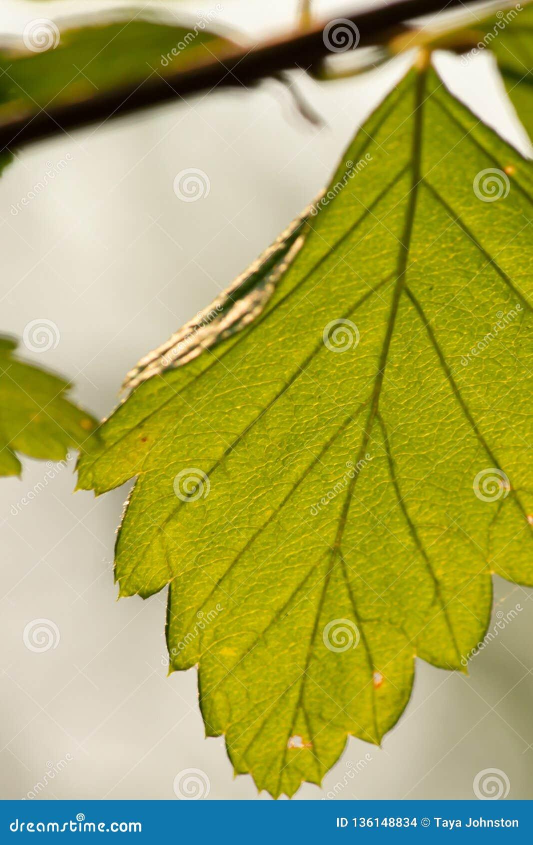 Ljust - grönt bladslut upp att hänga från slank filial i sommar