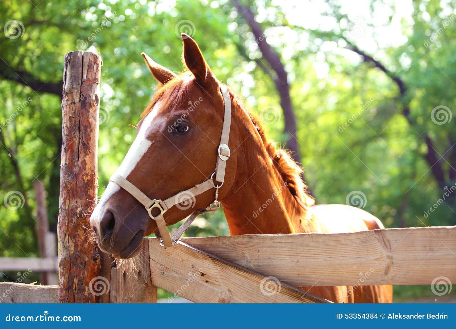 Ljust rödbrun häst på lantgård utomhus