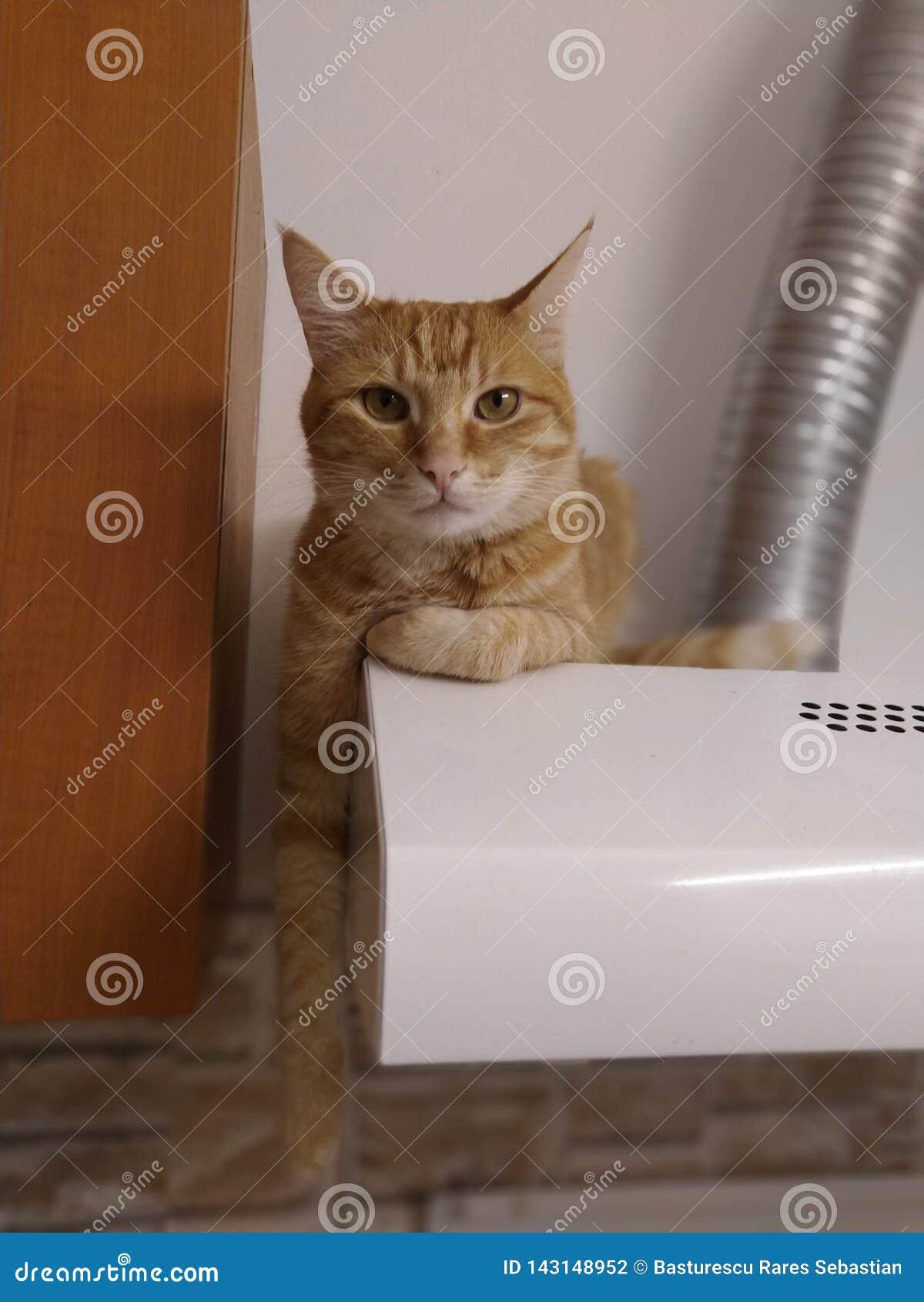 Ljust rödbrun katt som hänger på huven