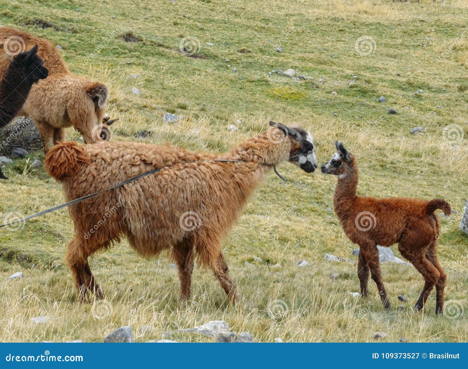 Llama είναι ένας εξημερωμένος νότος - αμερικανικό camelid, που χρησιμοποιείται ευρέως ως ζώο κρέατος και πακέτων από τους των Άνδ