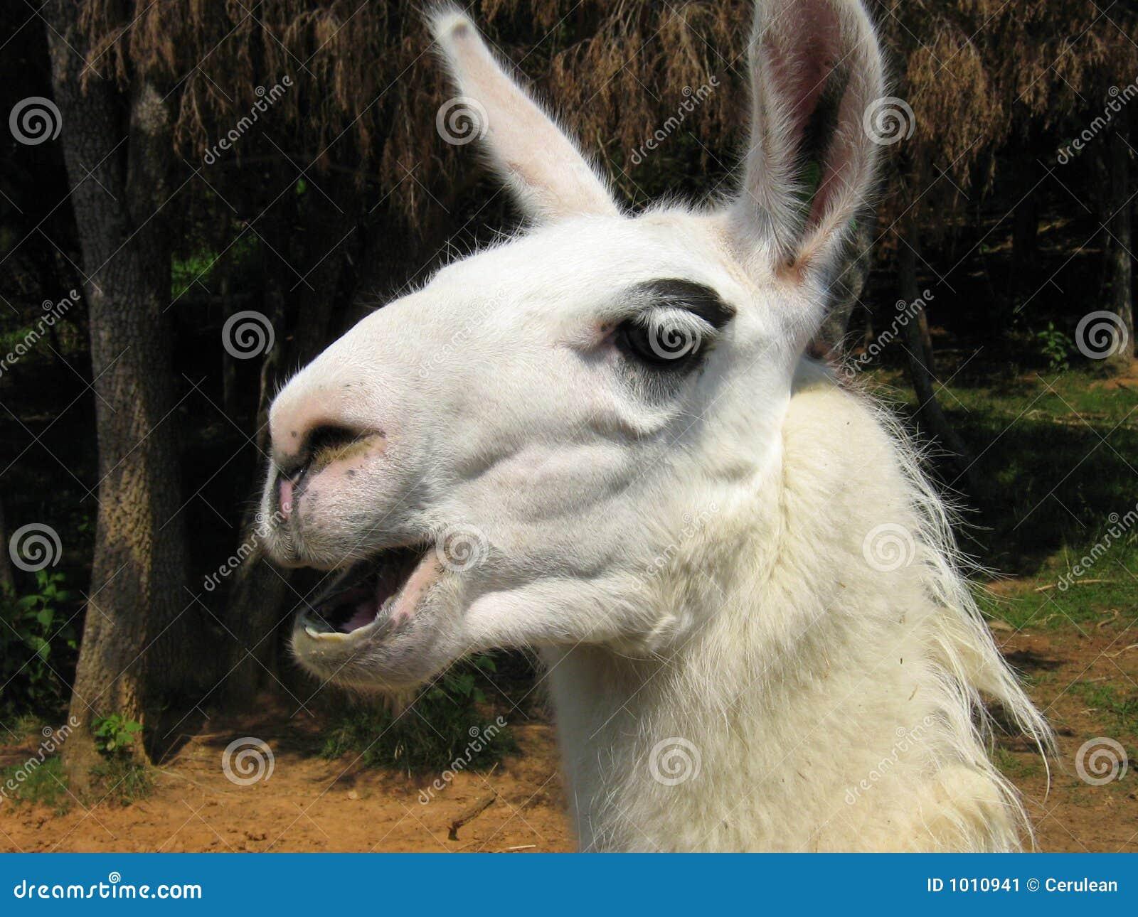 Llama τραγούδι
