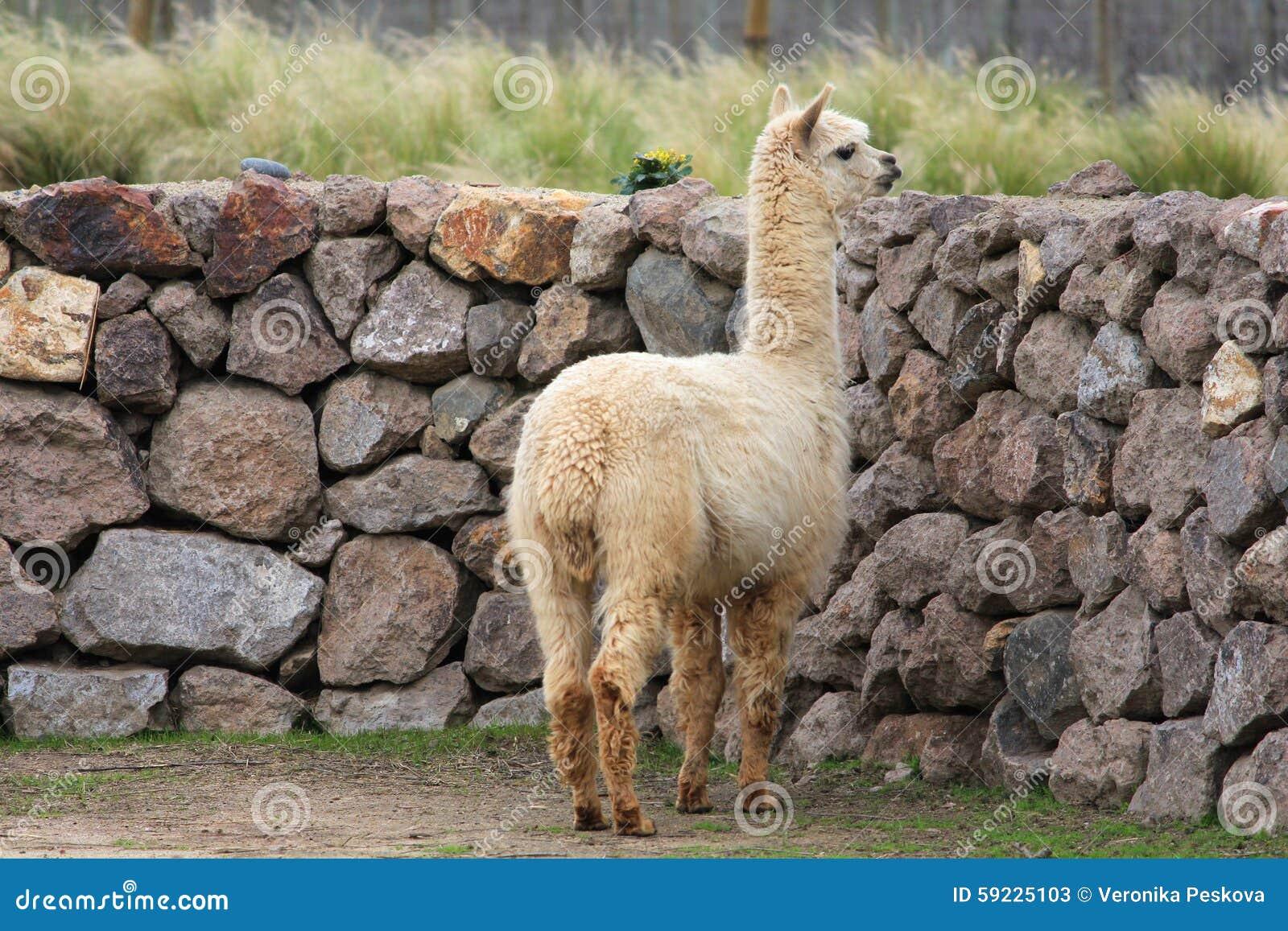Download Llama imagen de archivo. Imagen de lama, recorte, cara - 59225103