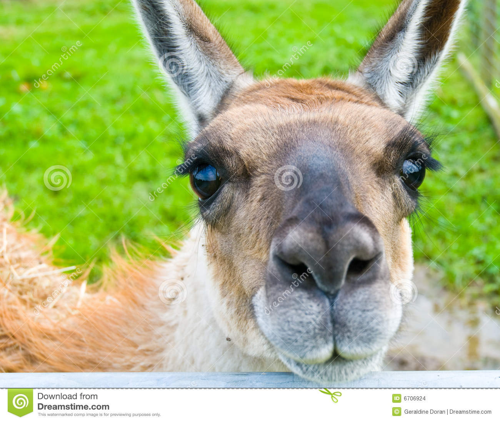 Llama Stock Images Image 6706924