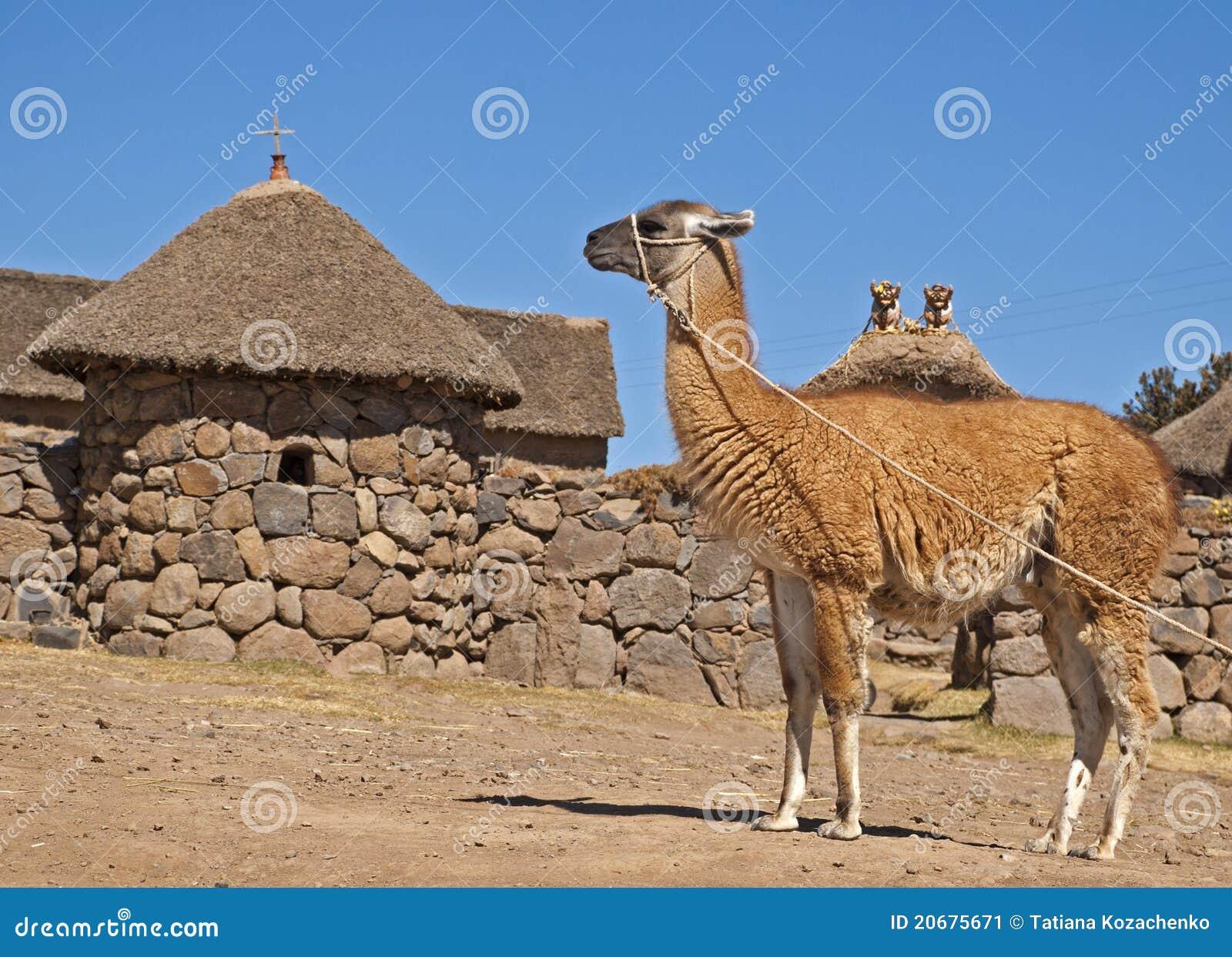 Llama-camello imagen de archivo. Imagen de salvaje, piel - 20675671