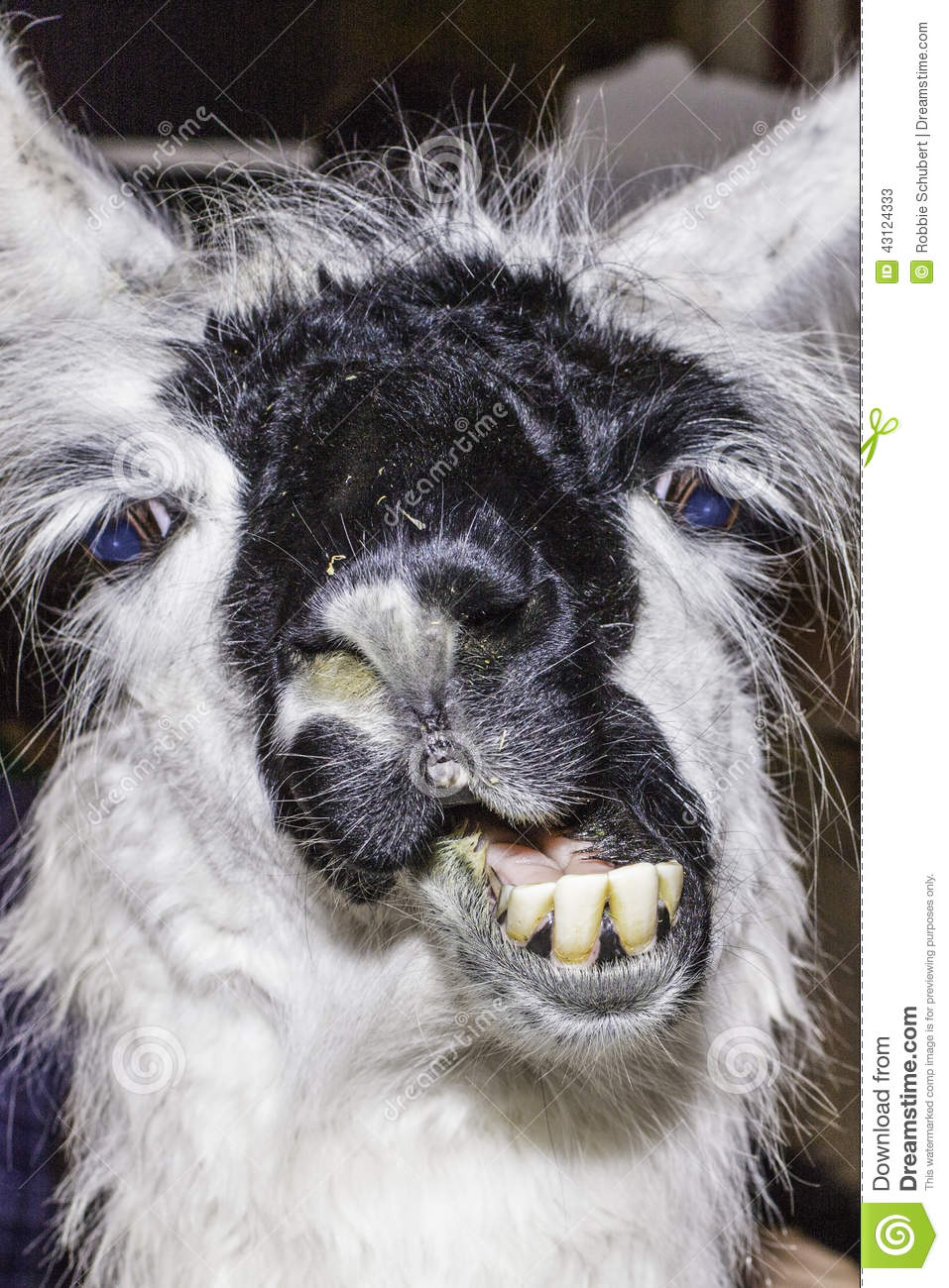llama funny stock photo image 43124333 chimpanzee clipart png chimpanzee face clipart
