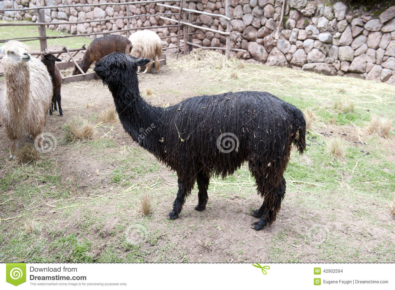 Llama stock photo image 42902594 for Alpacas view farm cuisine