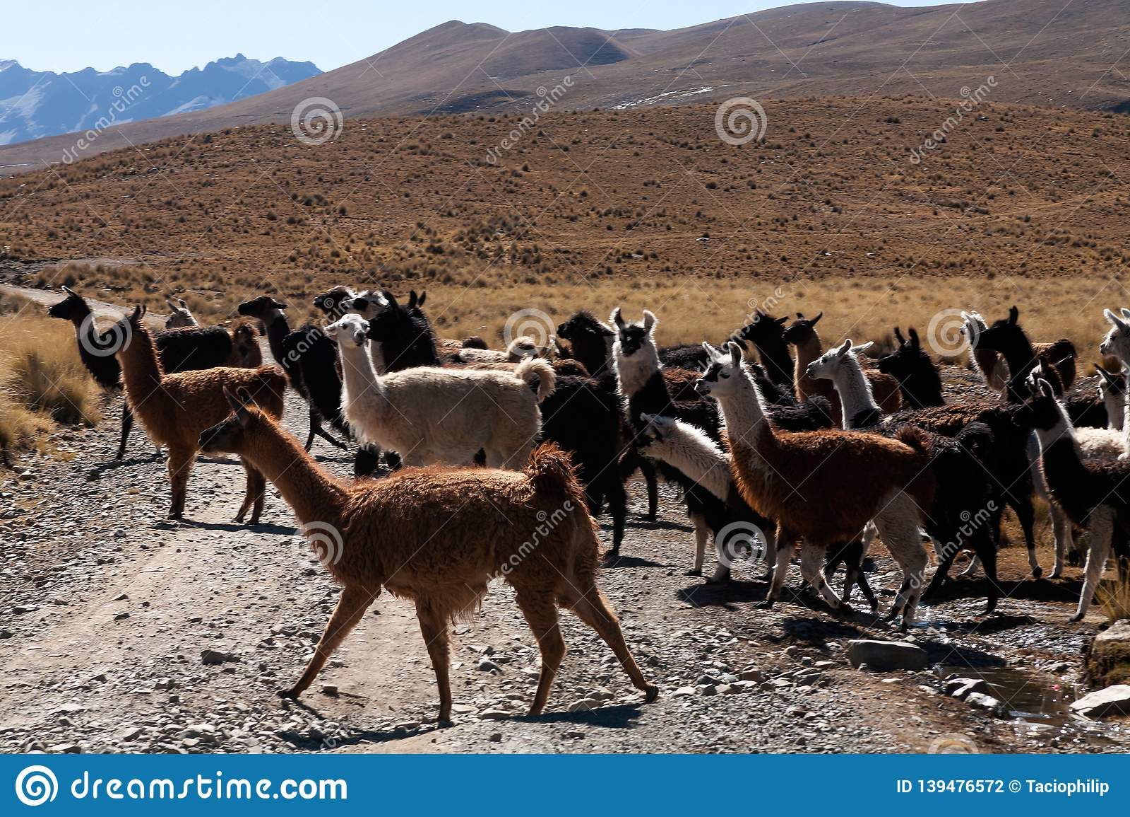 Llama in the wild in Bolivia highlands - vicuna alpaca lama