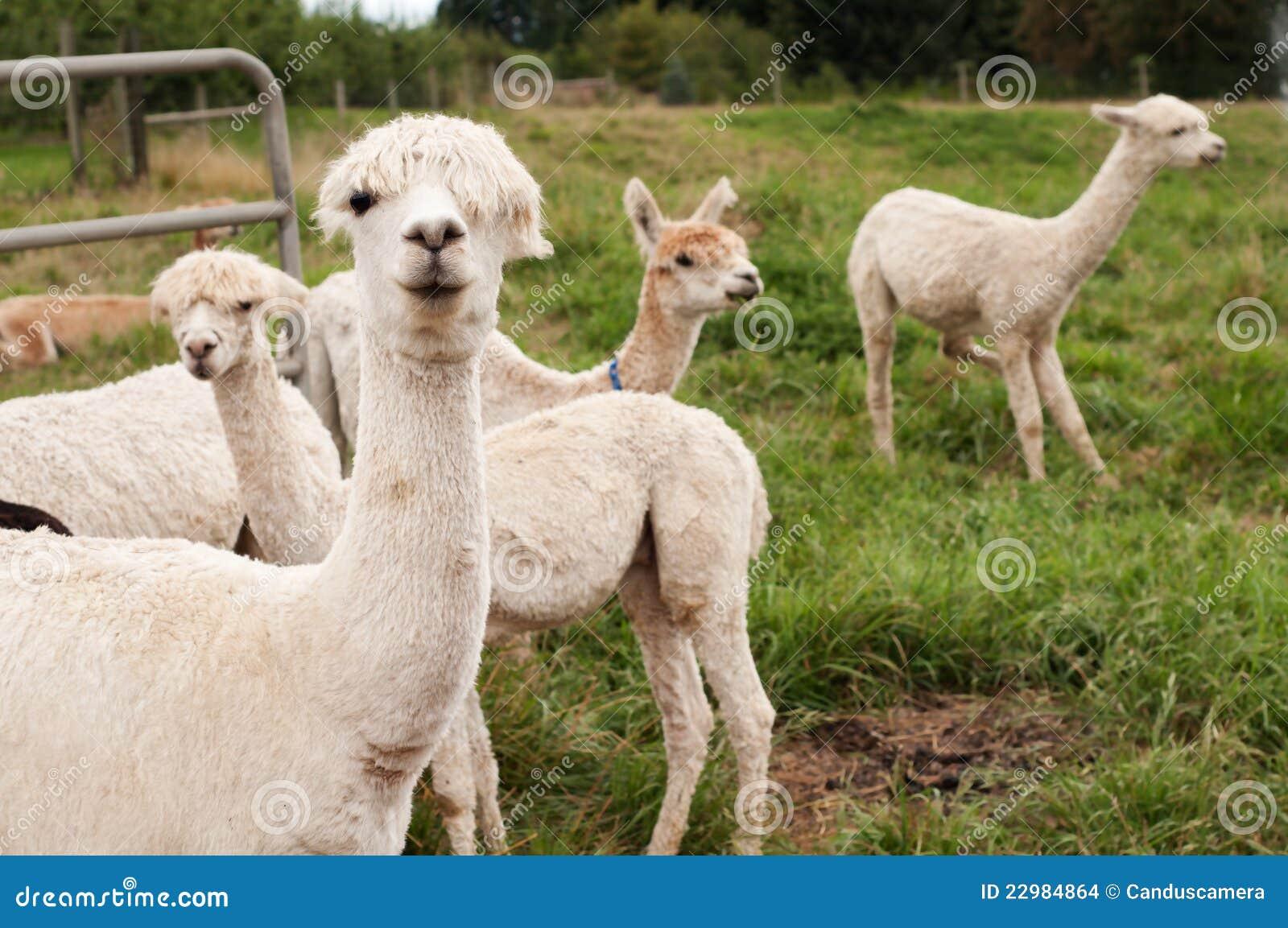 Alpaca Face Llamas Or Alpacas Shea...