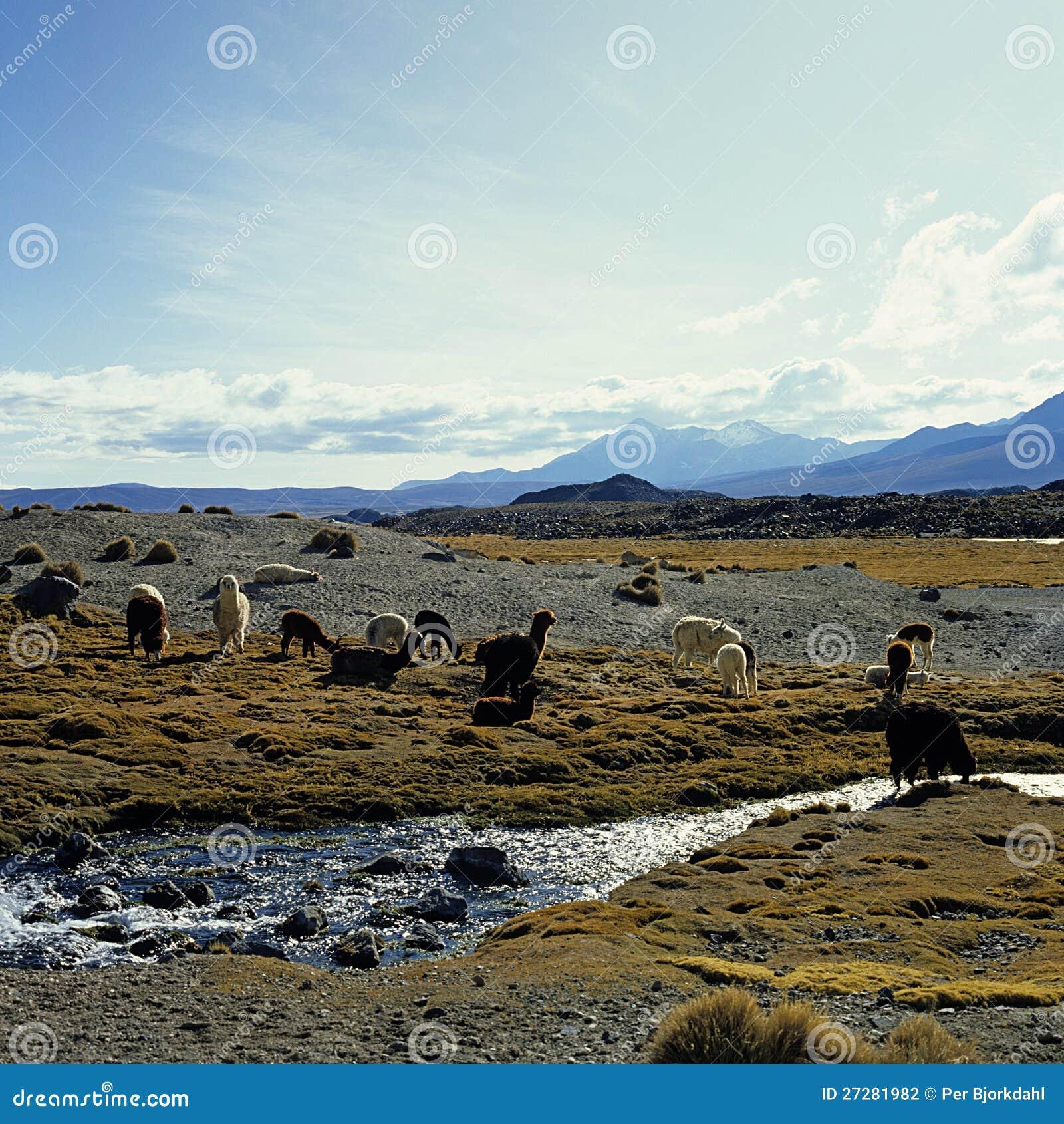 Llamas och alpacas