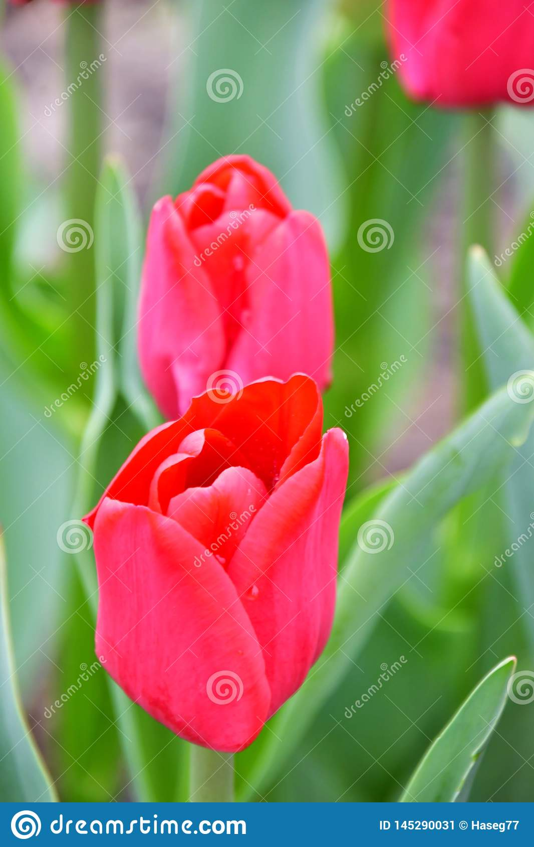 Lle de France .Glowing cardinal-red bloom.