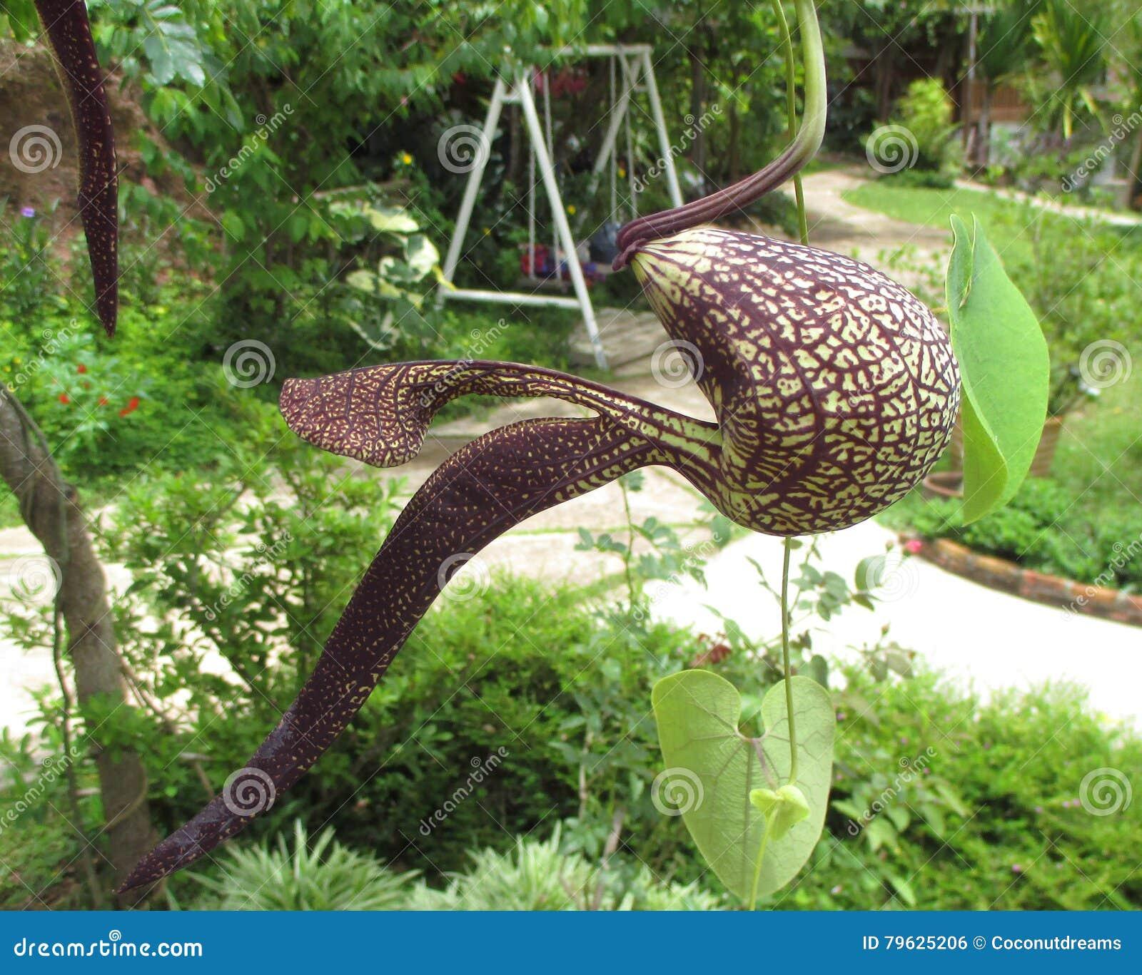 Lle piante di un lanciatore tropicale o piante carnivore for Piante da giardino tropicali