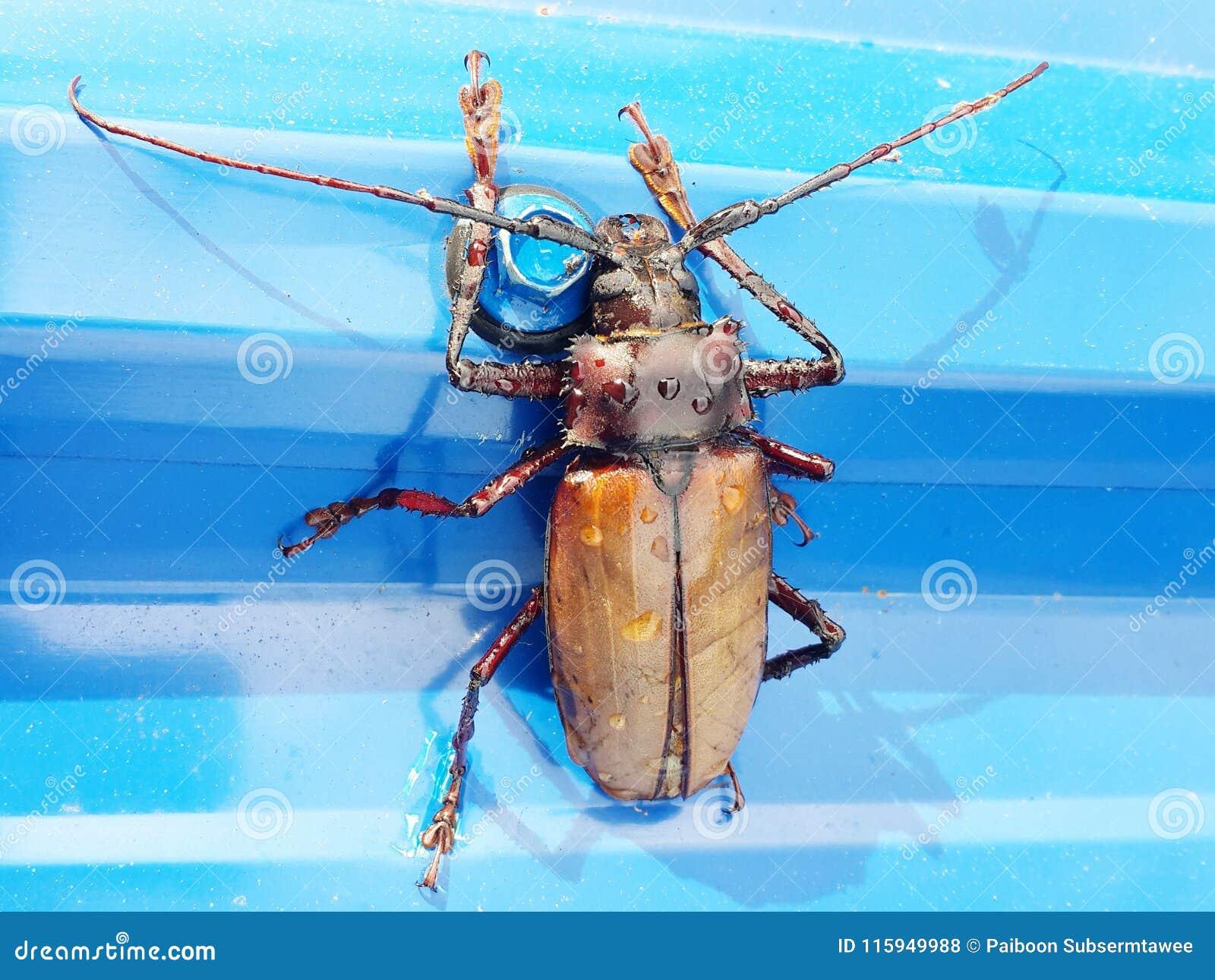 Lo scarabeo smerigliatrice lungo