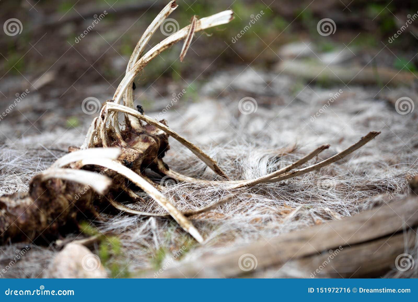 Lo scheletro di una pecora del Big Horn nella foresta a Rocky Mountain National Park
