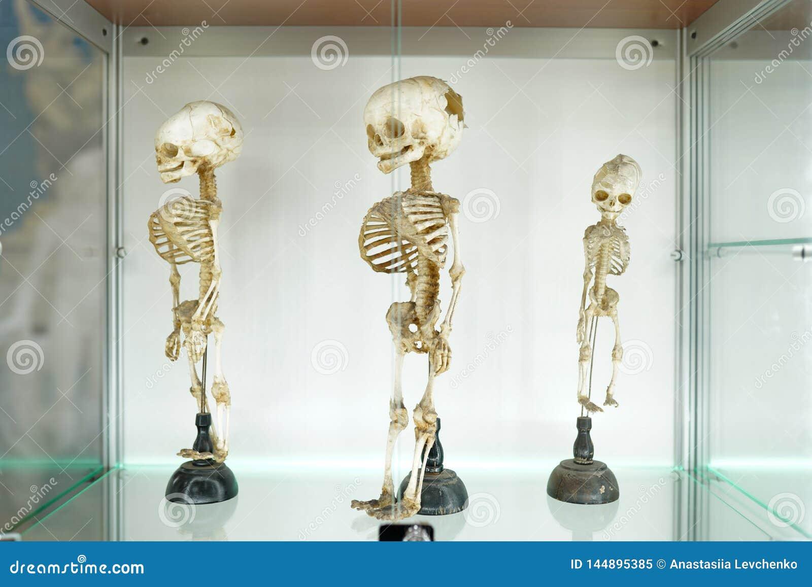 Lo scheletro medico umano dei bambini su fondo bianco Concetto della clinica medica Museo di scienza