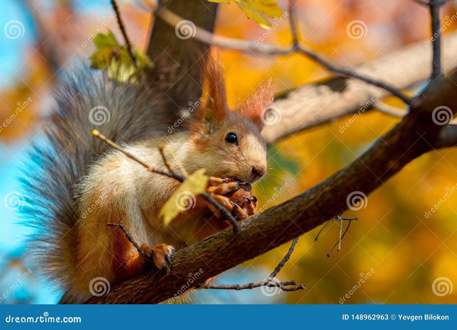 Lo scoiattolo mangia una noce su un ramo di albero