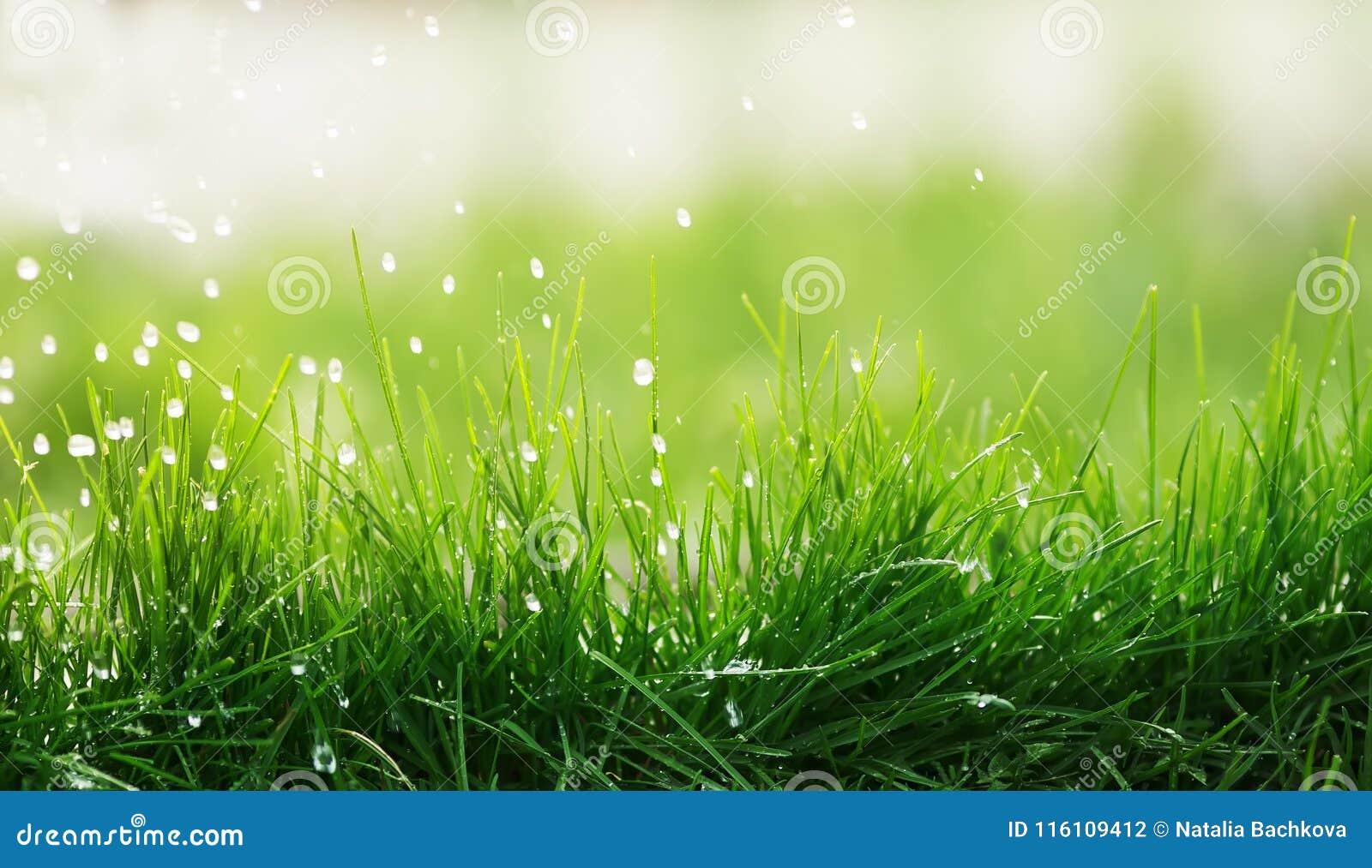 Lo sfondo naturale di erba verde succosa e la sgocciolatura piovono sulla a