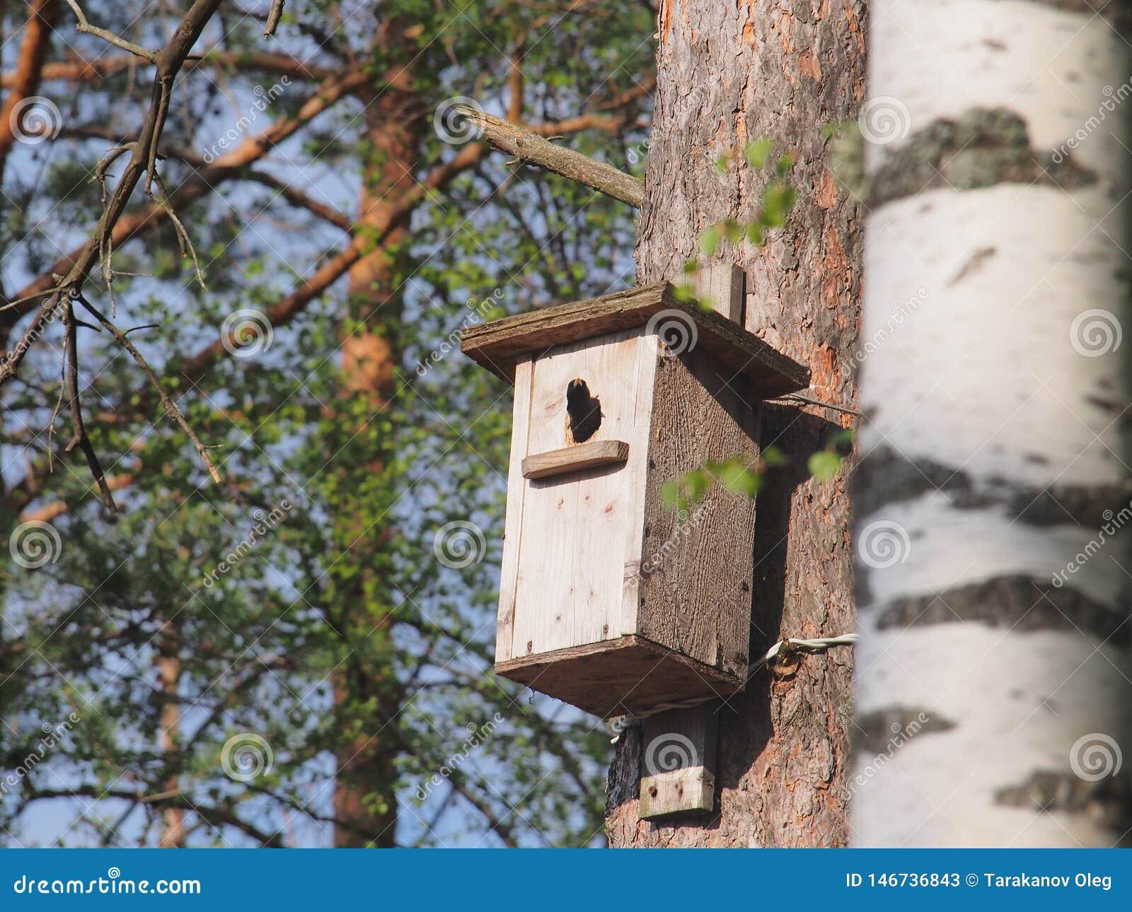Lo storno guarda dall aviario L uccello sul nido