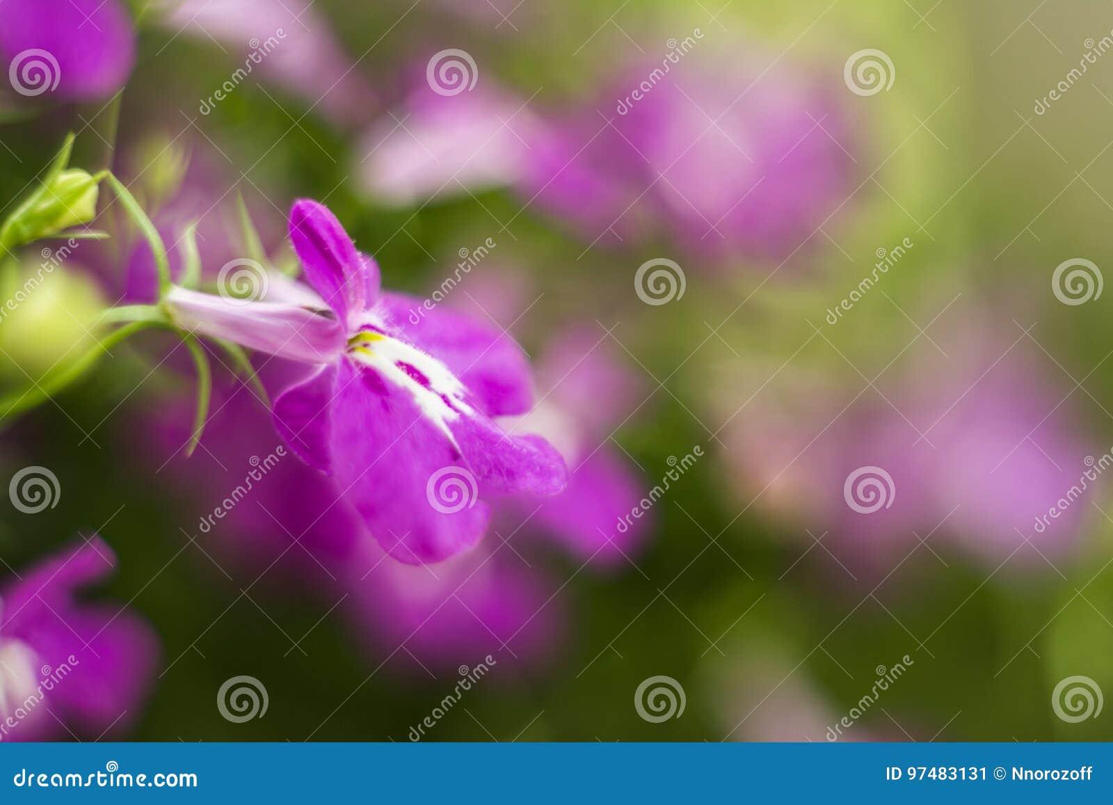 Lo zaffiro di trascinamento porpora di Lobelia fiorisce o orlando il Lobelia, Lobelia del giardino