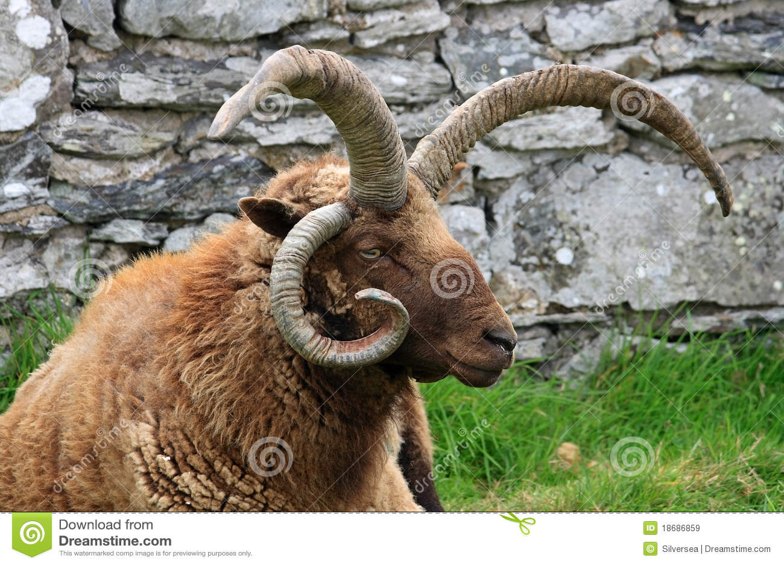 Loaghtan RAM