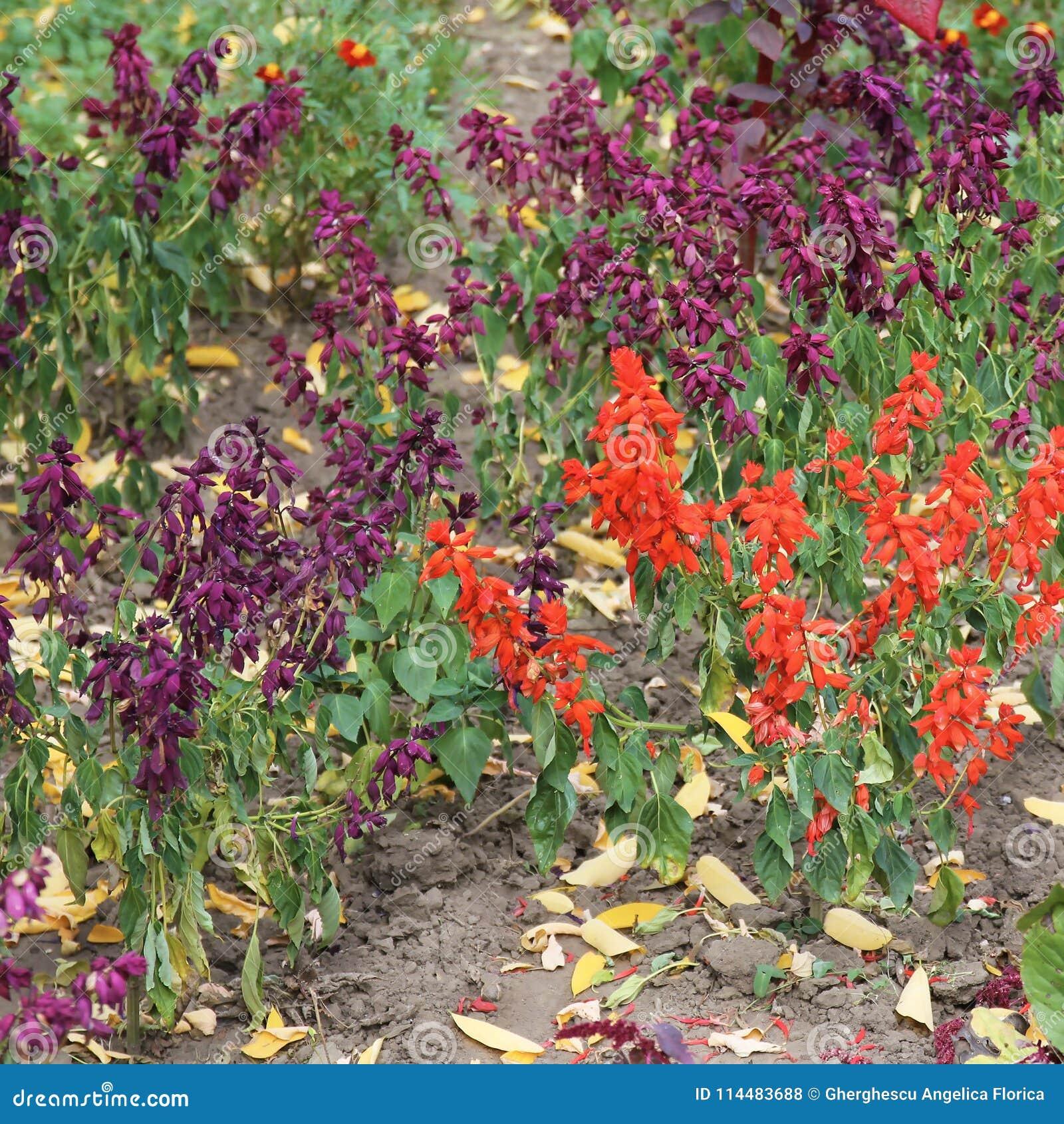Lobelia Cardinalis Queen Victoria Flower Stock Photo Image Of