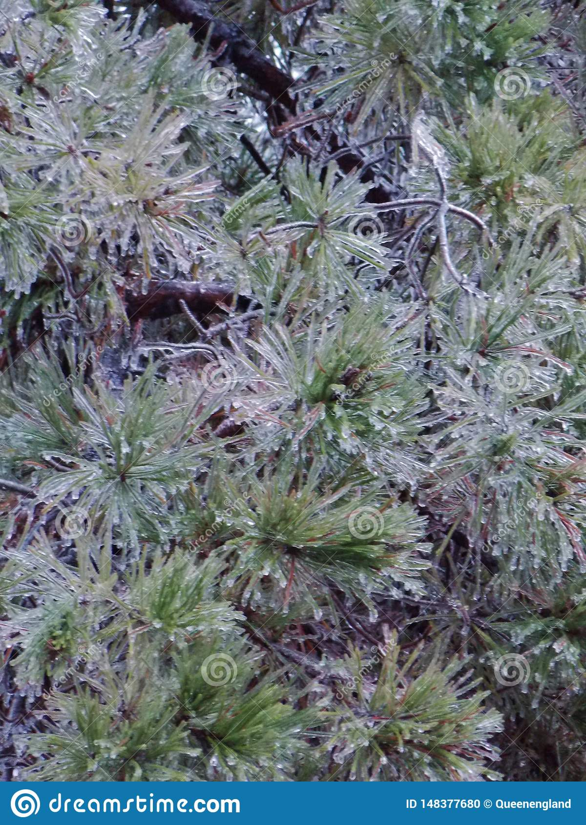 Loblolly Icy Pine Needles during Texas Winter