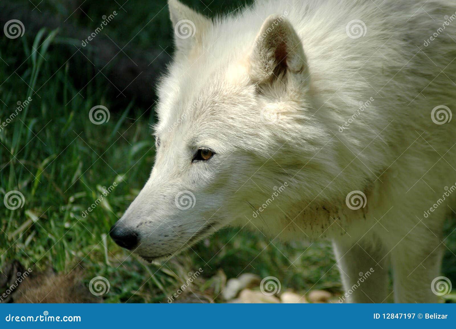 Lobo ártico (arctos del lupus de Canis)