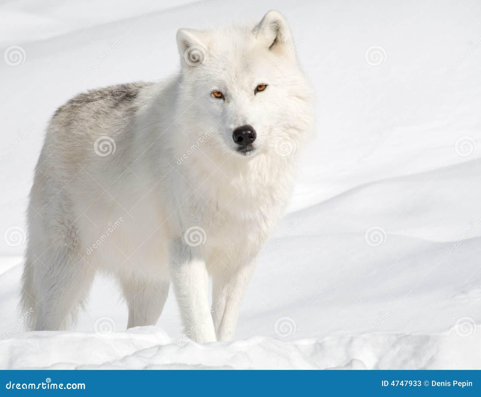 Lobo ártico en la nieve que mira la cámara