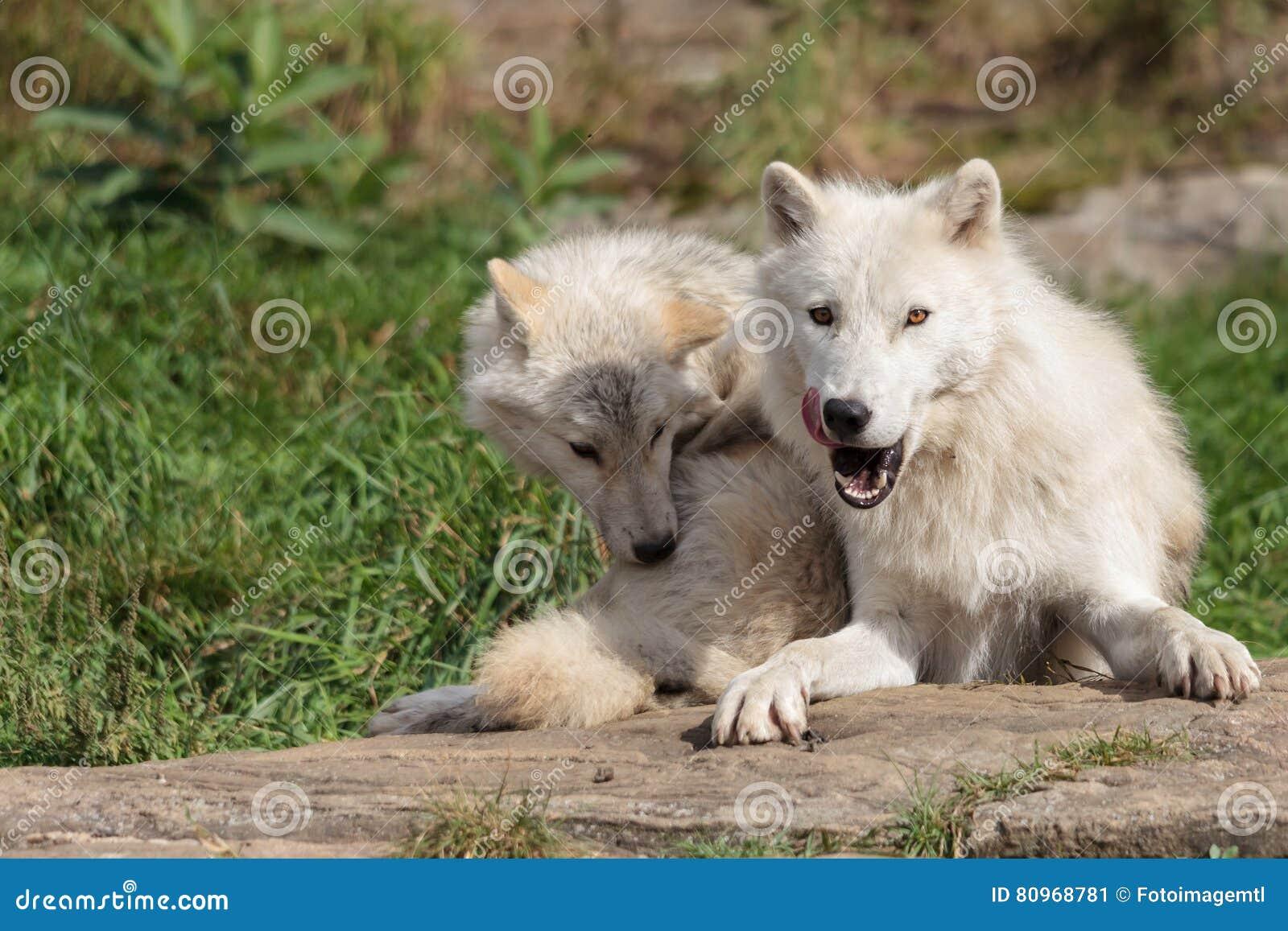 Lobo ártico juvenil com mãe