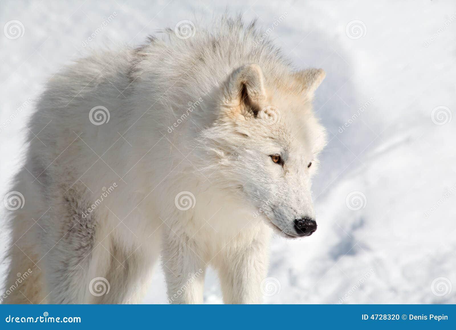 Lobo ártico na neve