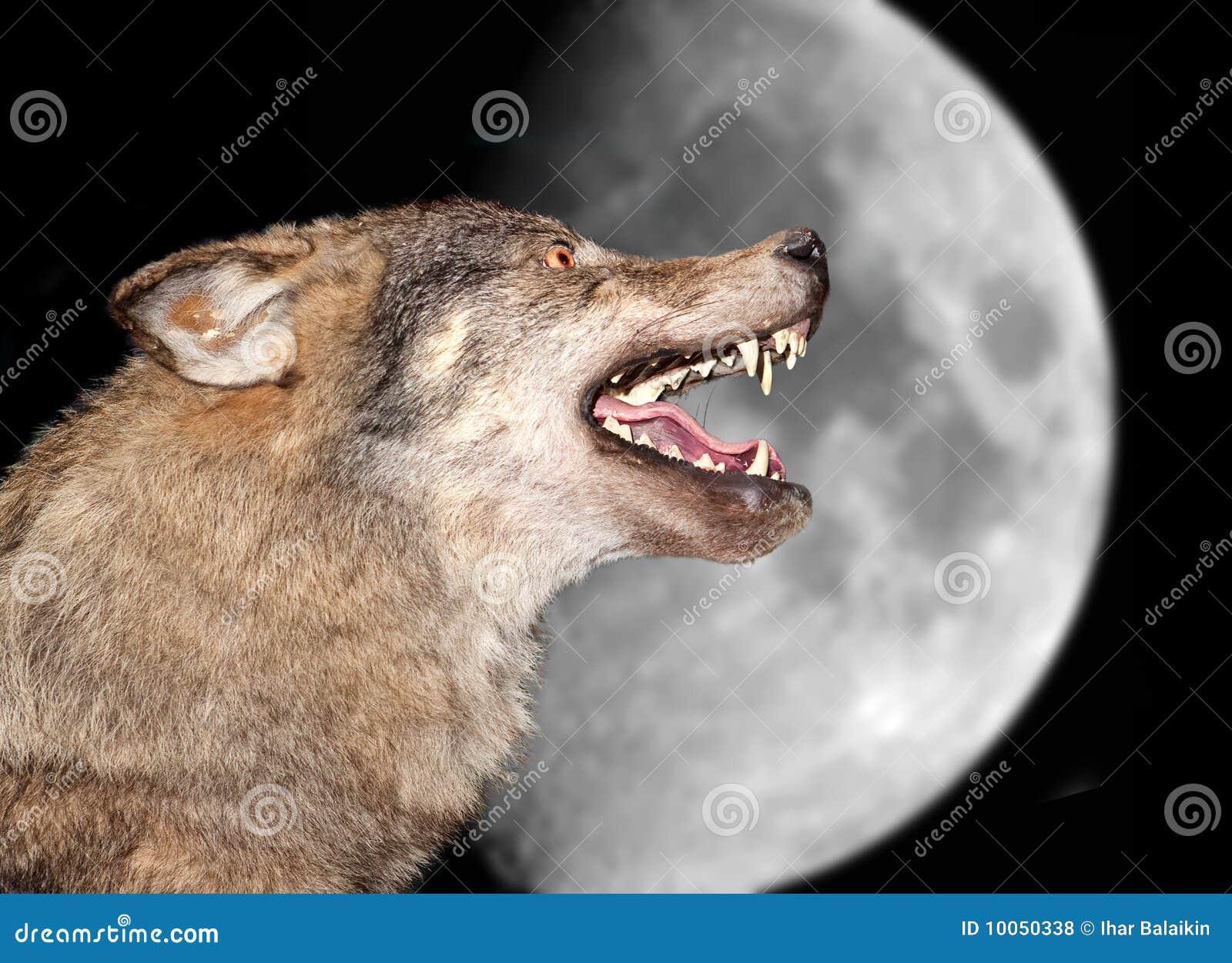 Lobo bajo la luna