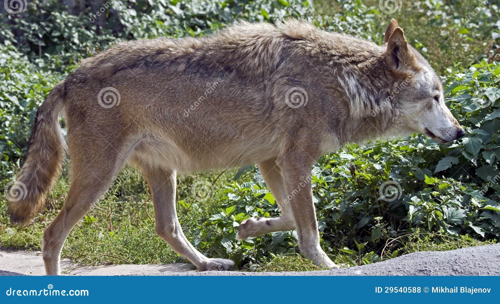Lobo cinzento 3