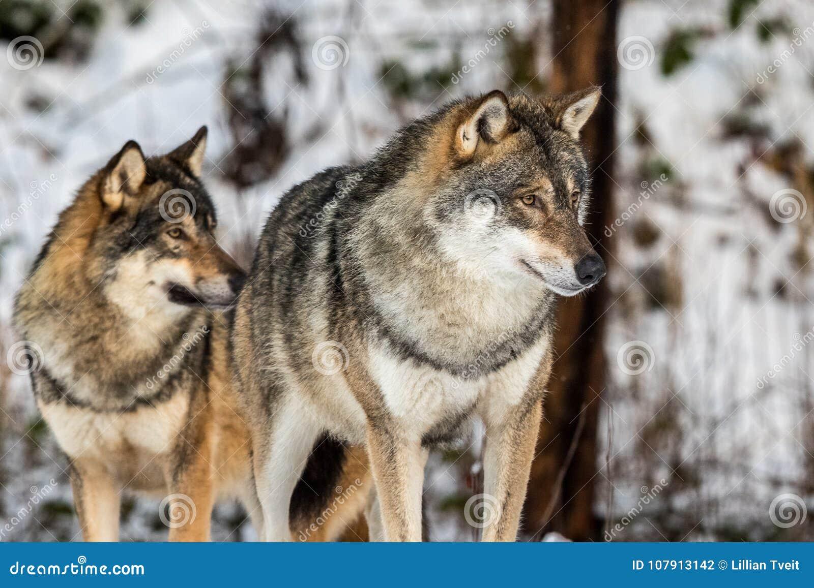 Lobo Cinzento Lúpus De Canis Dois Lobos Que Estão Em Uma Floresta