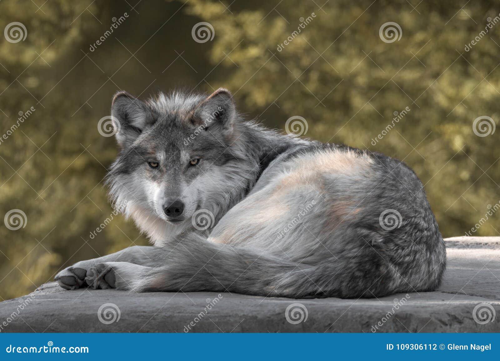 Lobo cinzento mexicano
