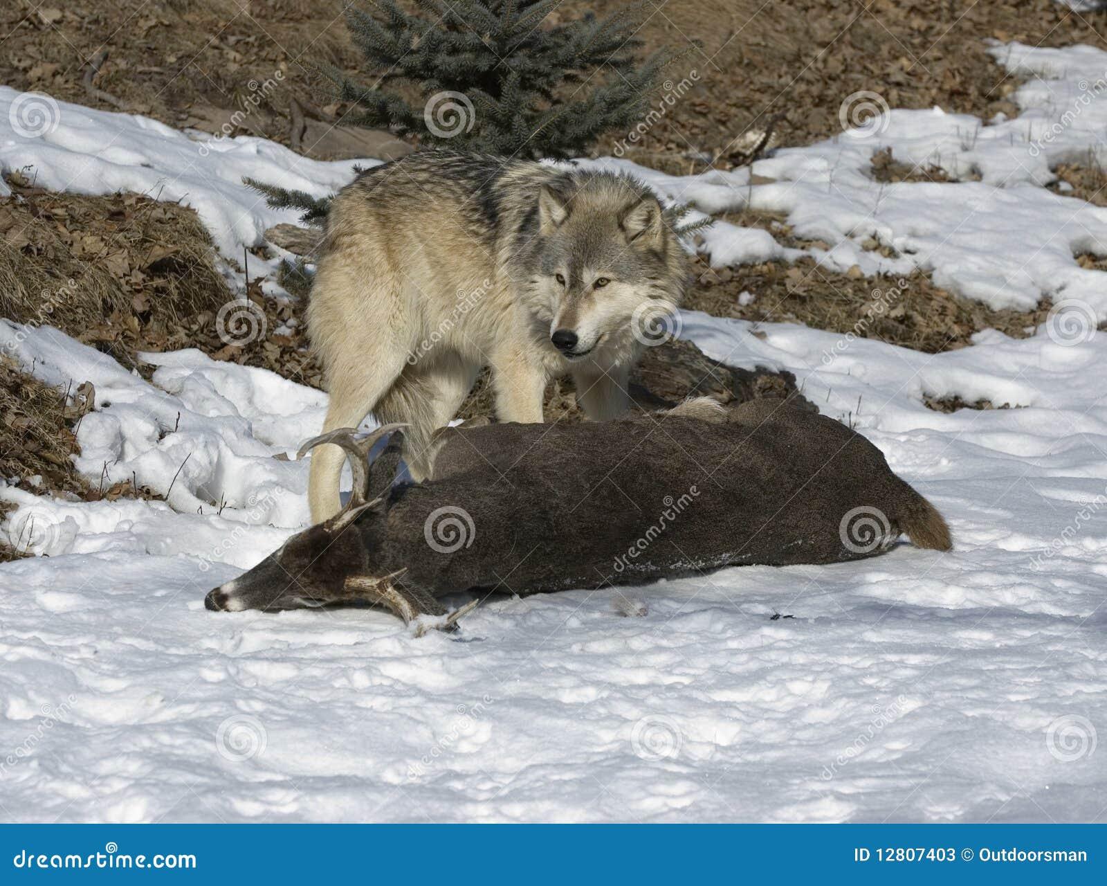 Lobo com matança