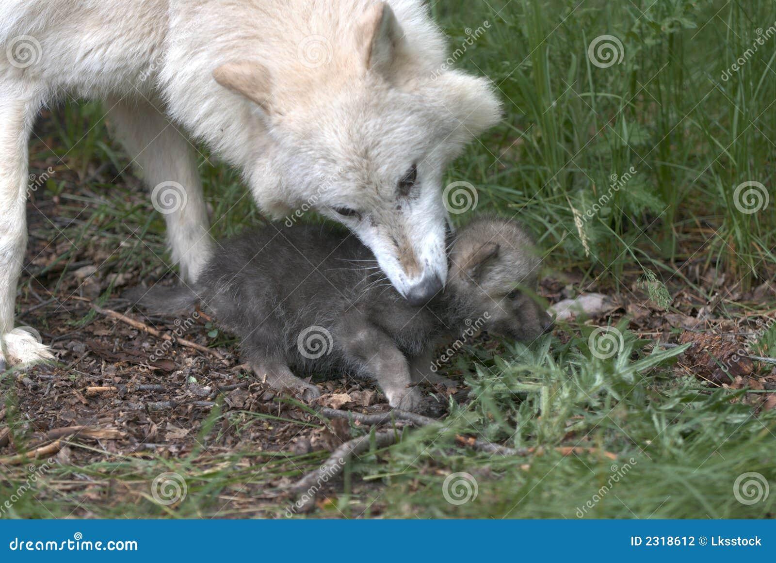Fotos de perros rottweiler cachorros 97