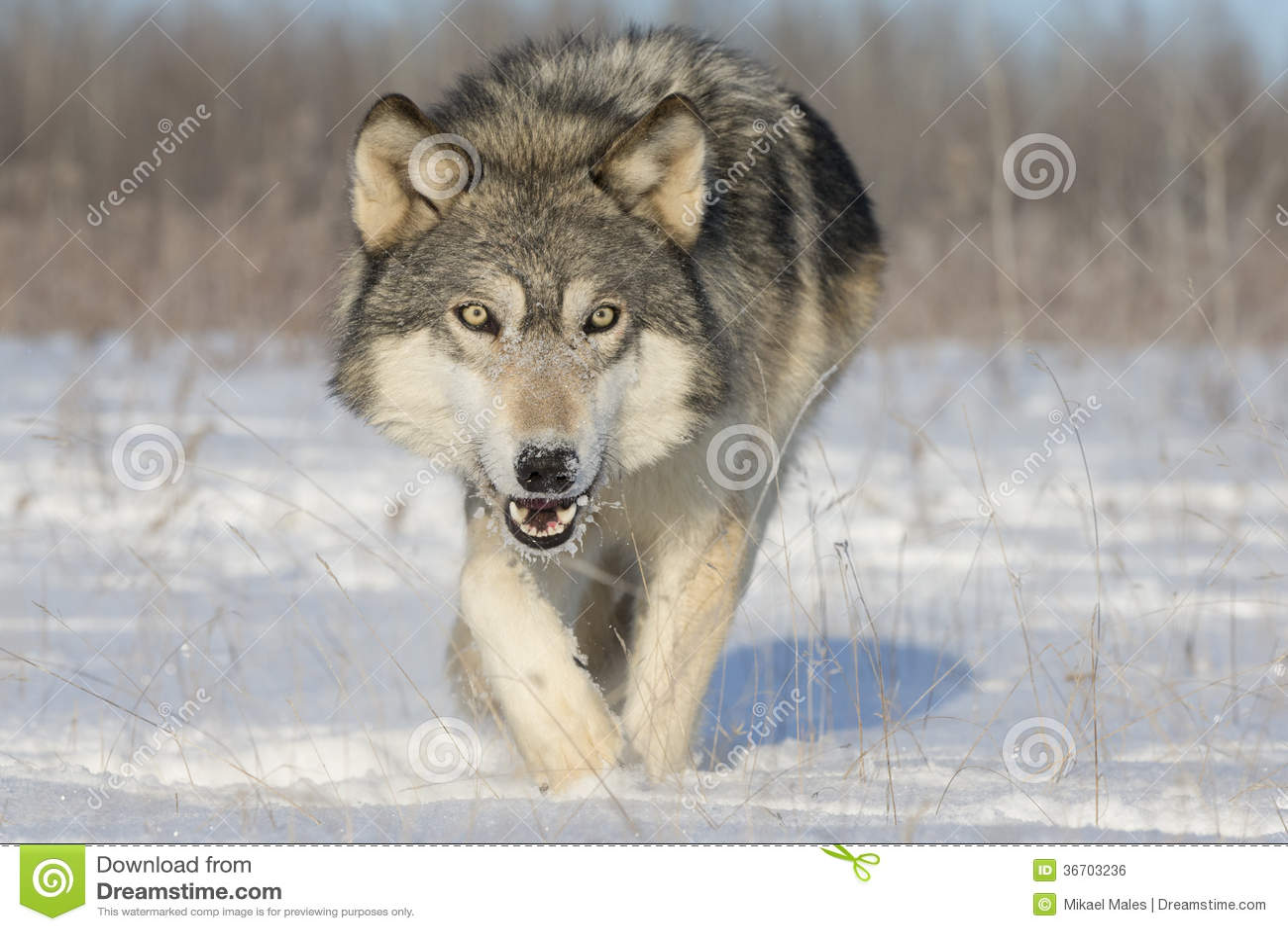 Lobo de madera