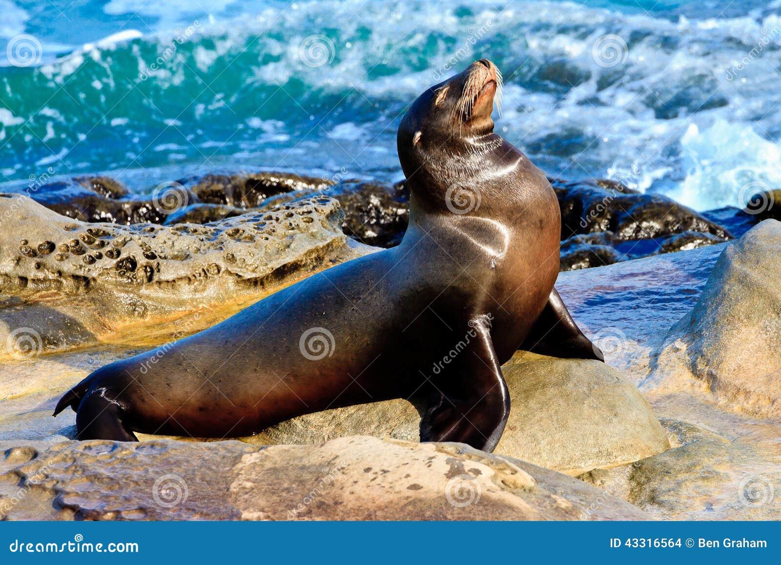 Lobo de mar 2