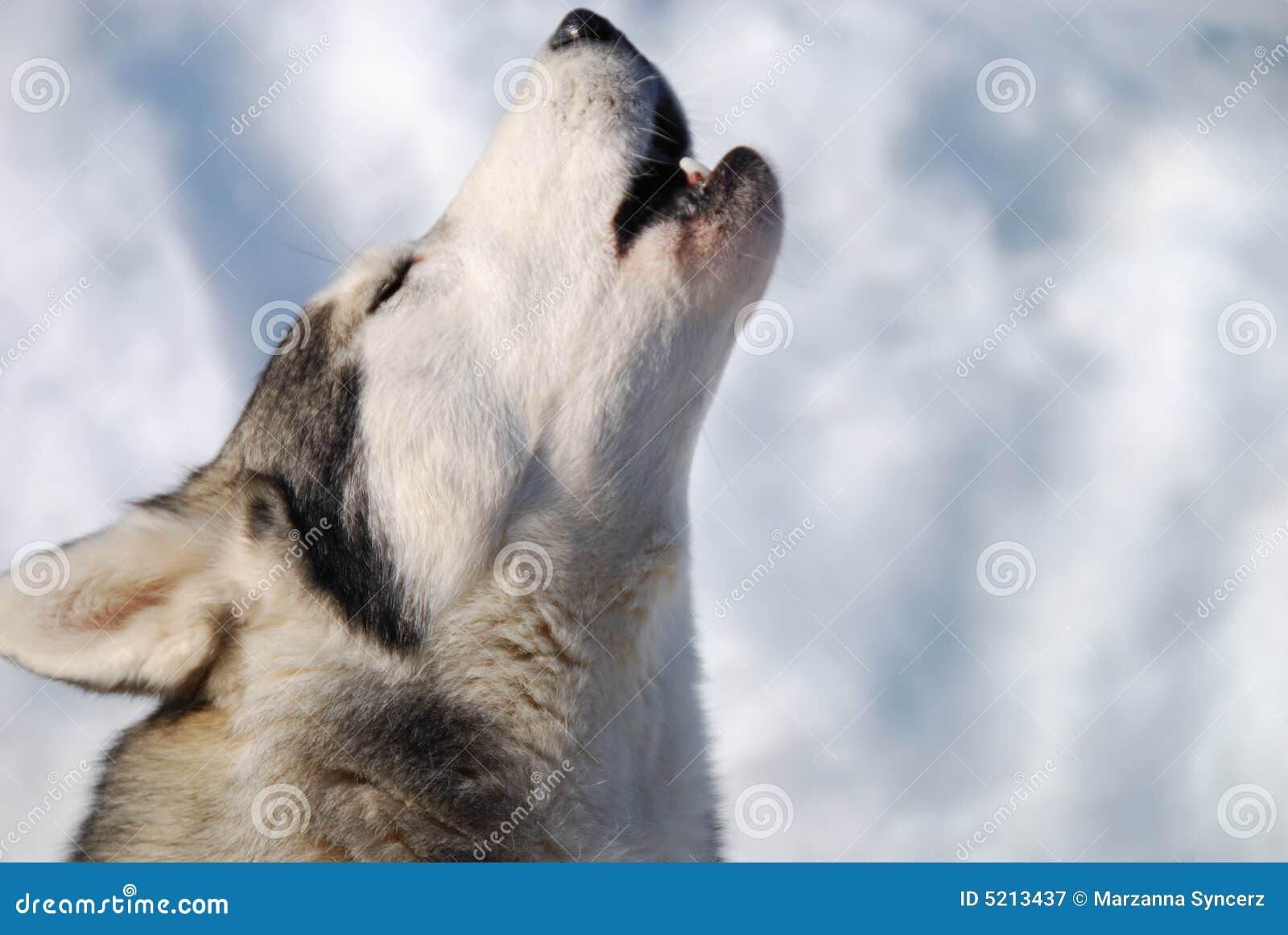 Lobo do urro