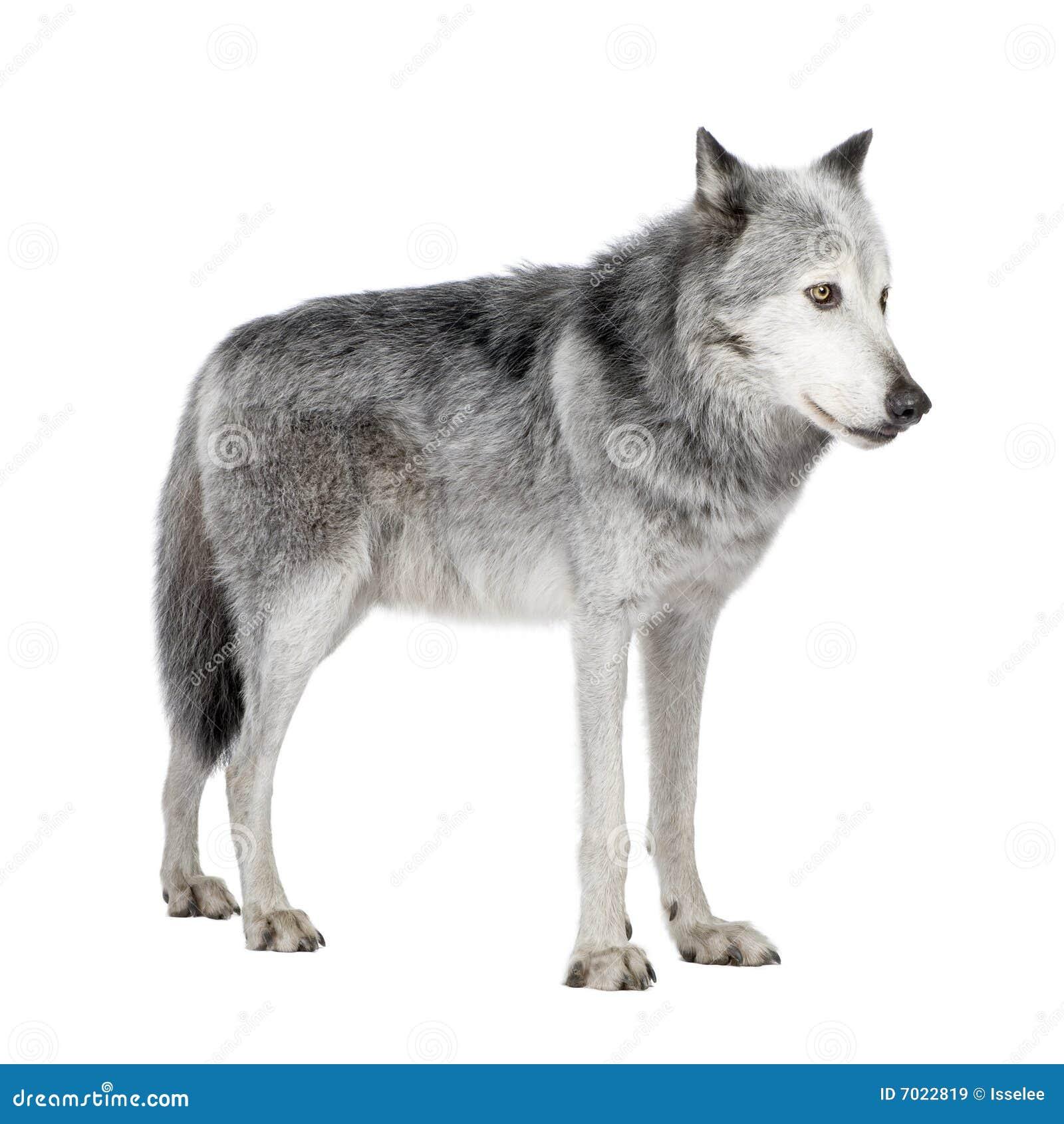 Lobo do vale de Mackenzie (8 anos)