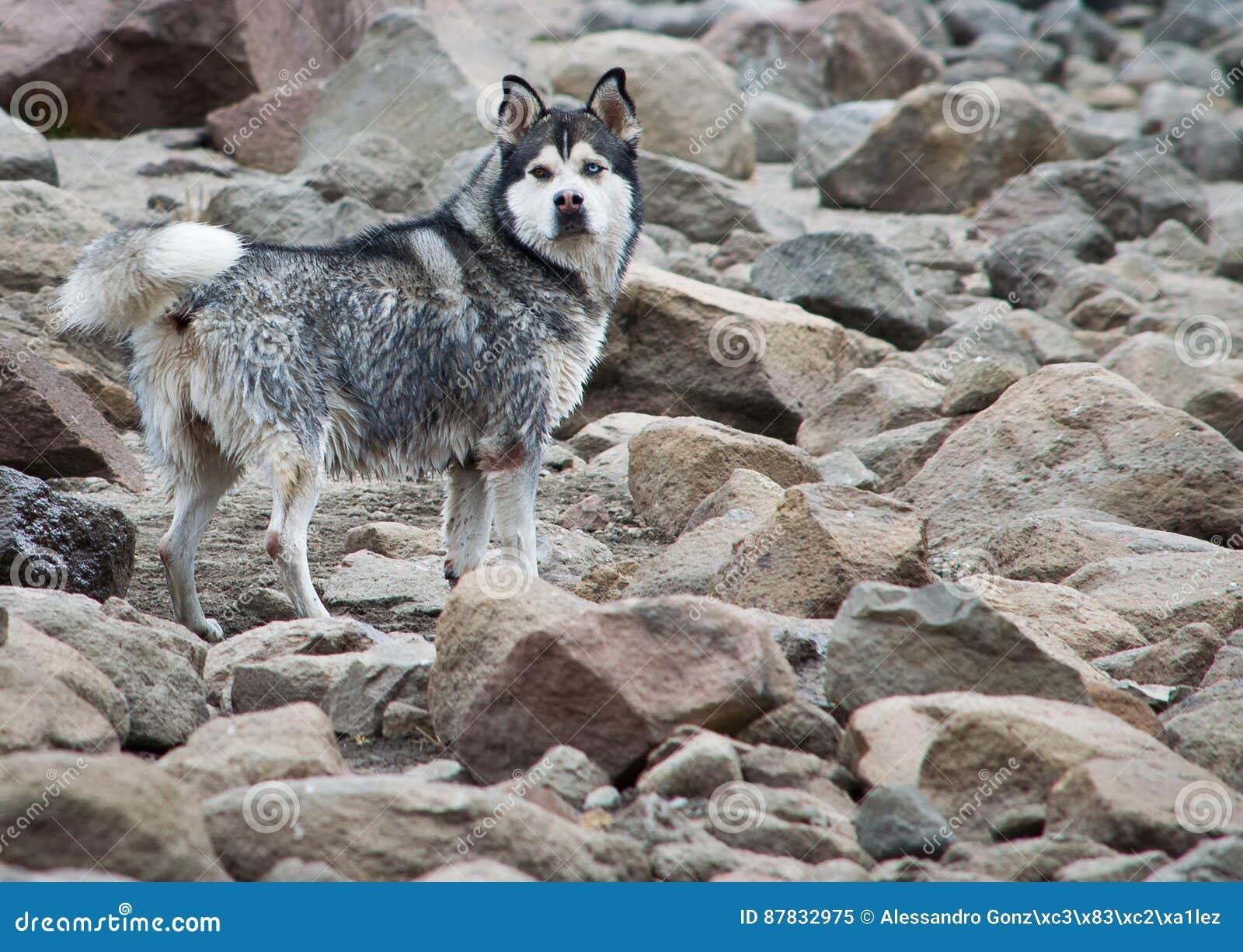 Lobo em pedras