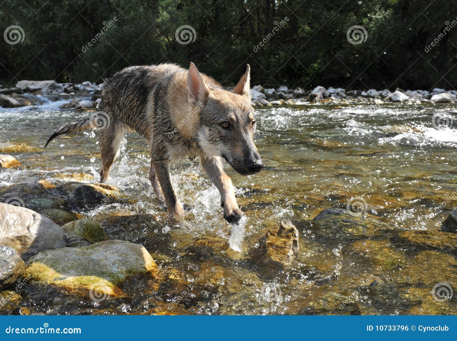 Lobo en un río