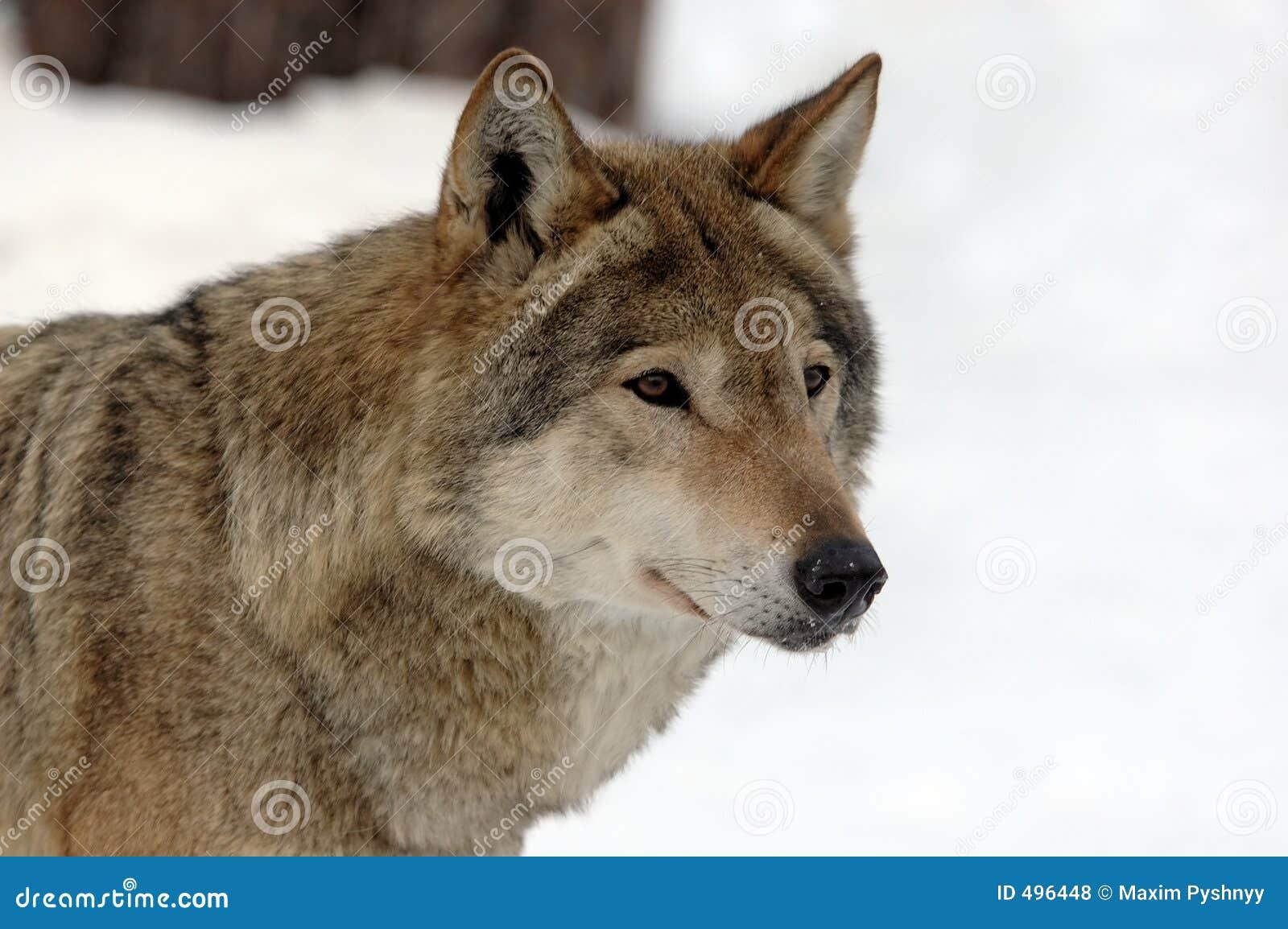 Lobo fêmea novo