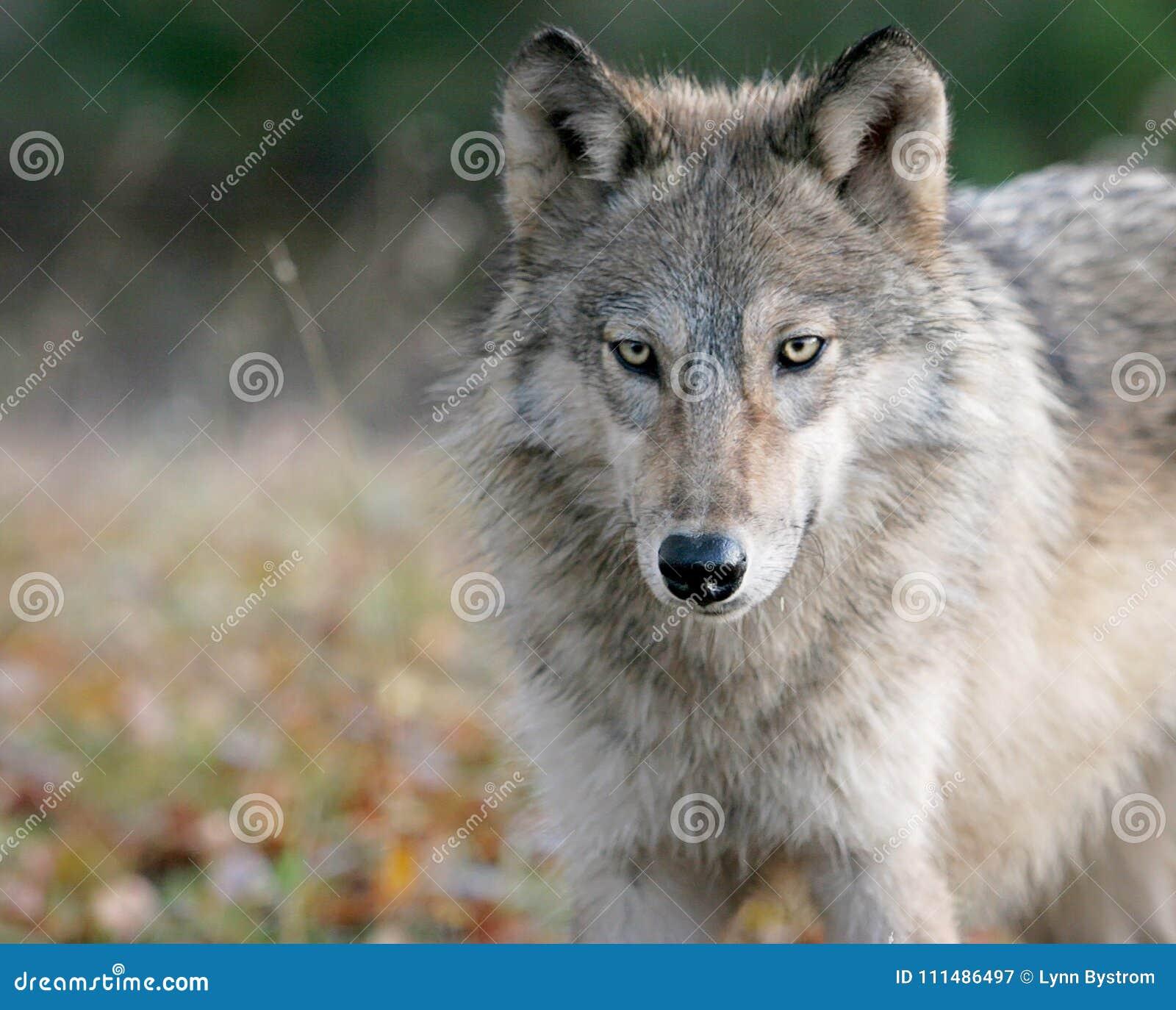 Lobo gris en el ajuste del otoño