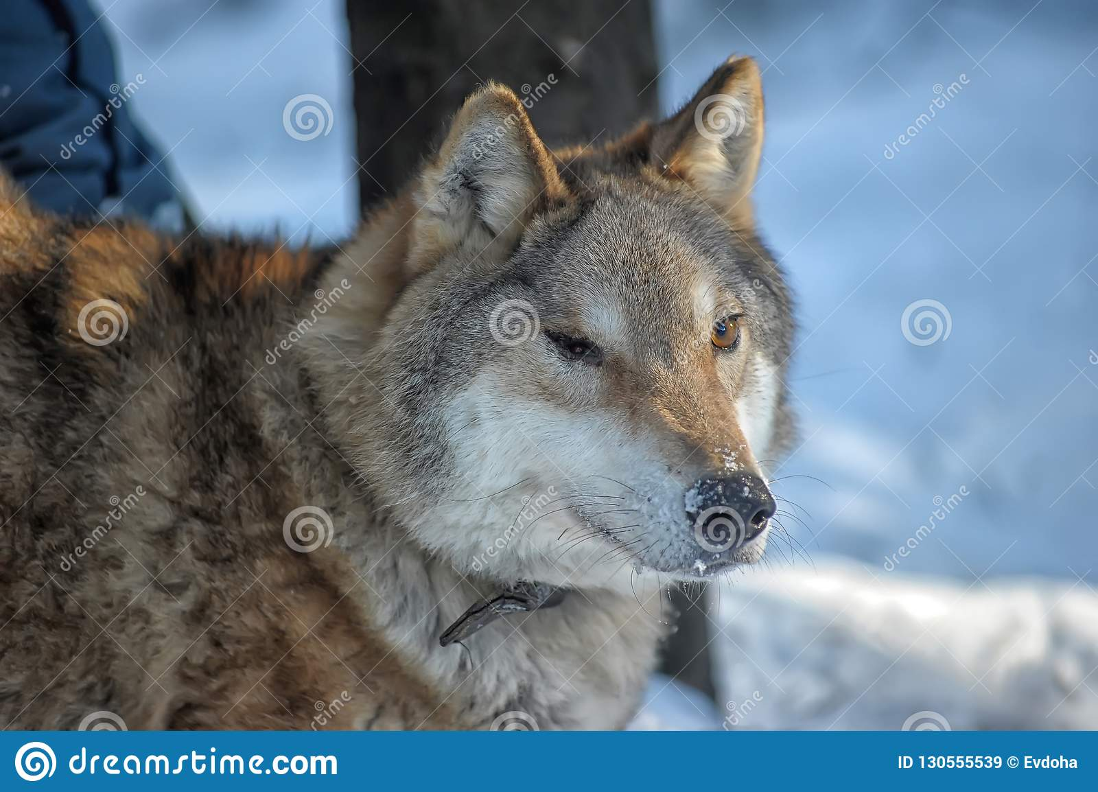 8ce04ac3f32d Lobo gris tuerto en un cuello en un fondo del invierno en un refugio para  los animales salvajes